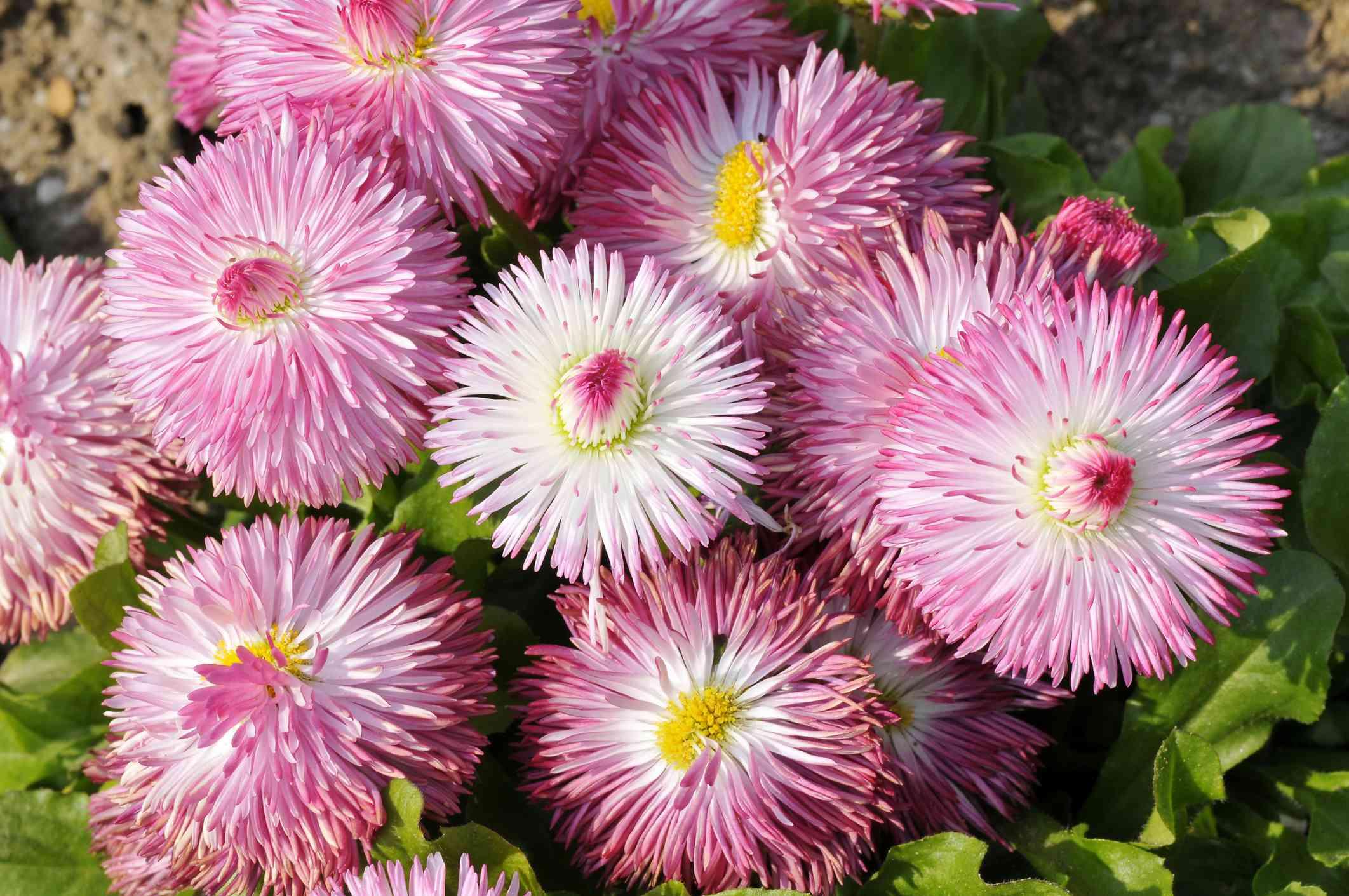 English daisy 'Habanera' variety