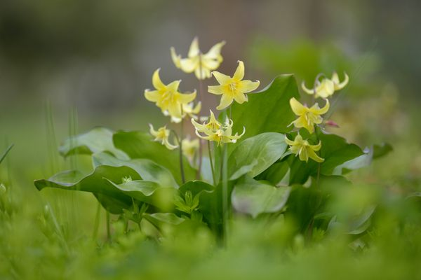 Trout lily flowers with small light-yellow petals and tulip-like leaves