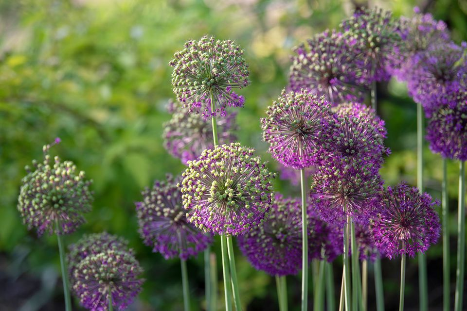 Giant onion perennial plant with puffball of green buds and purple star shaped blooms on thin stalks