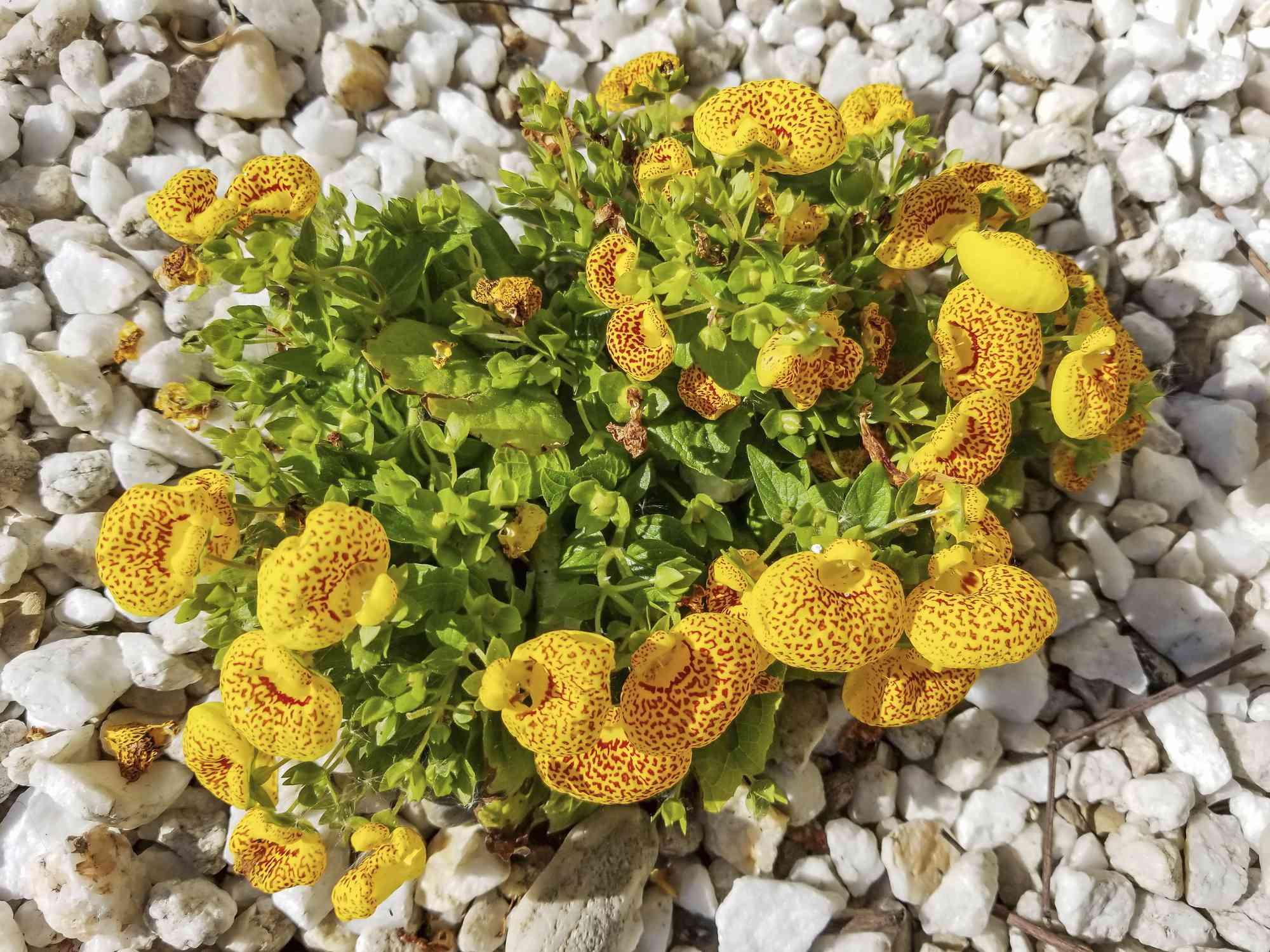Calceolaria integrifolia on a bed of pebbles