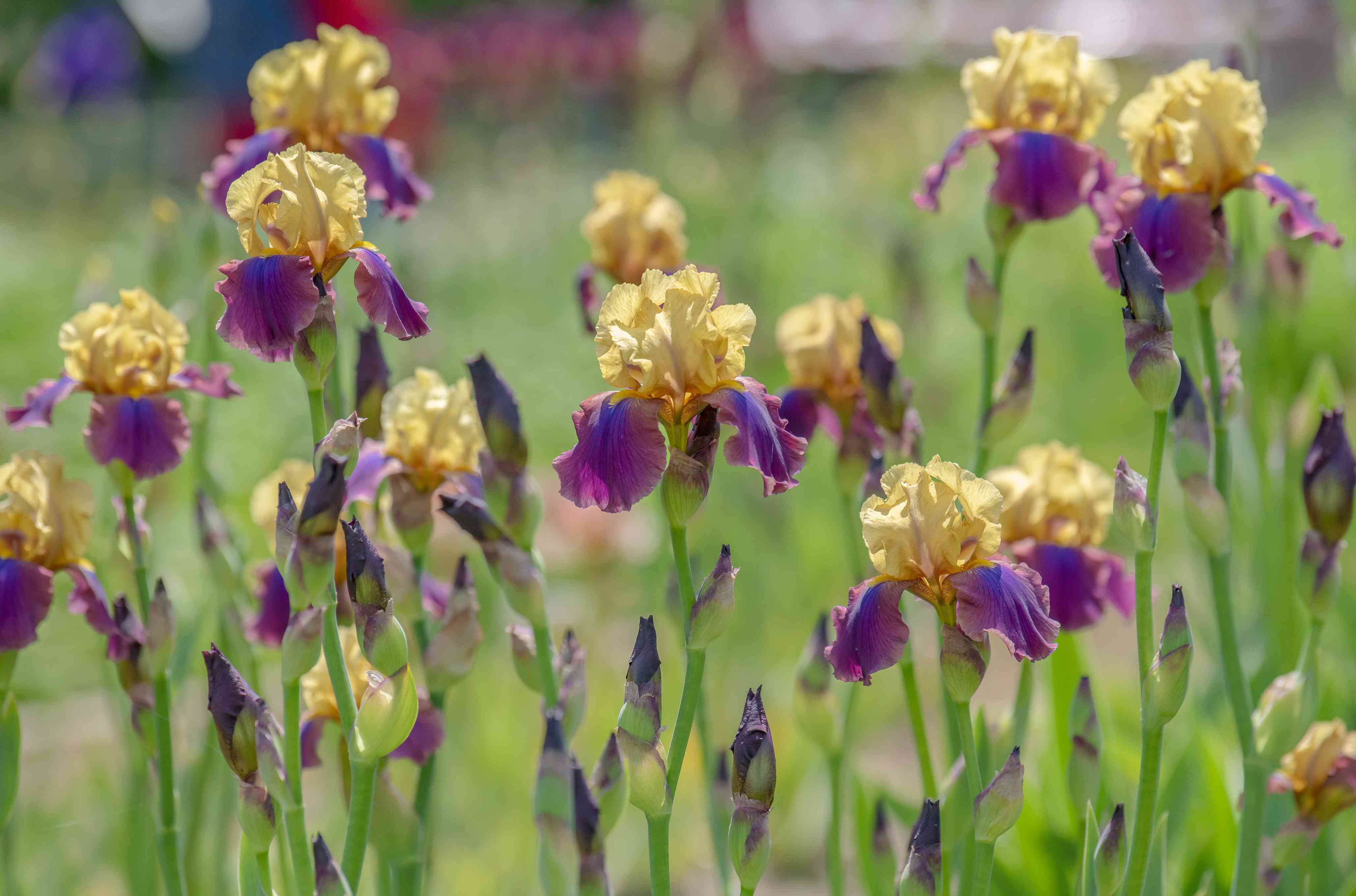 Iris flowers with yellow standard and purple fall petals and buds on tall thin stalks