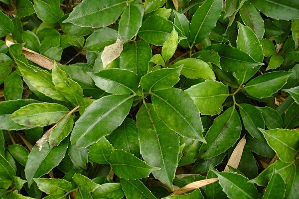 Close up of chestnut vine