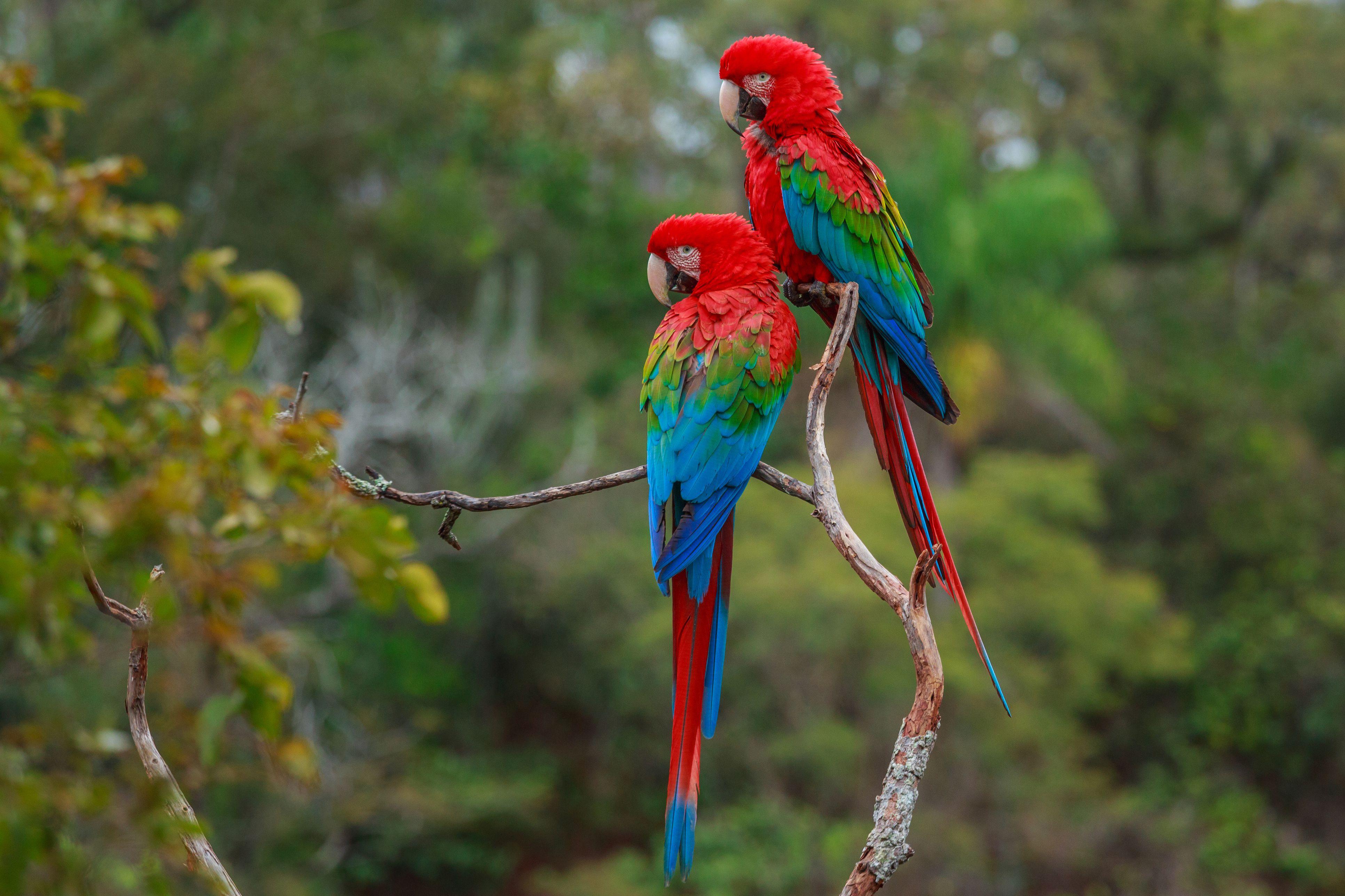 Psittacine Bird Family