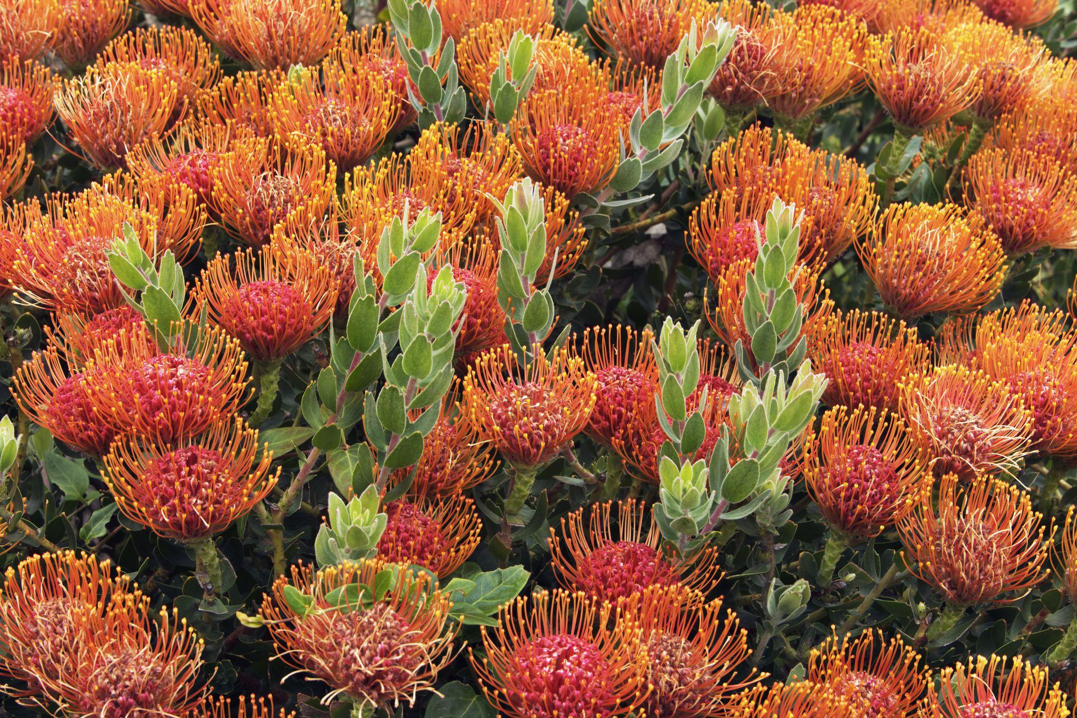 Orange flowers of Pincushion protea shrub (Leucospermum)