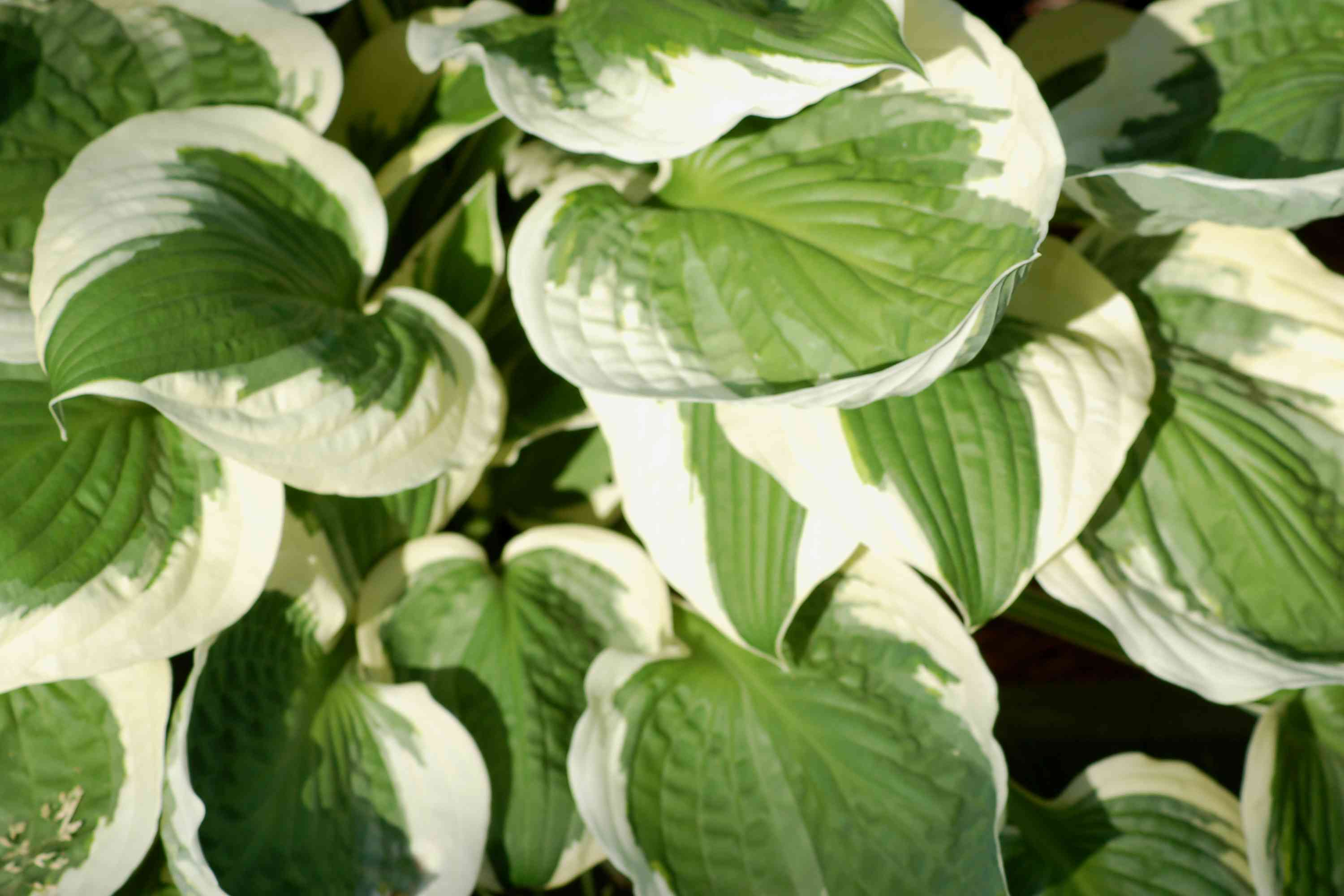 'Patriot' hosta with green leaves edged in white