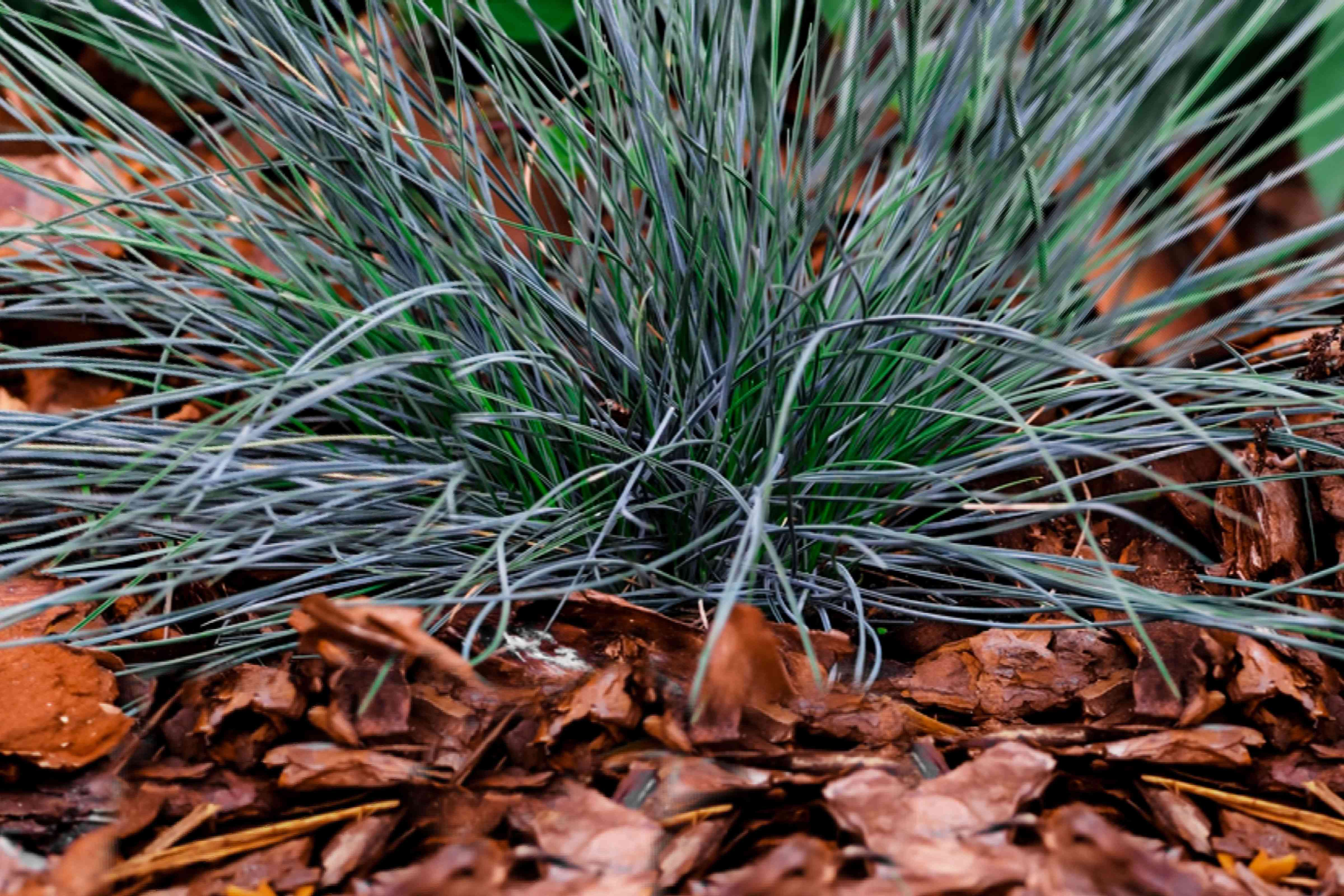 Blue fescue grass with blue-green leaf blades surrounded with brown leaves closeup
