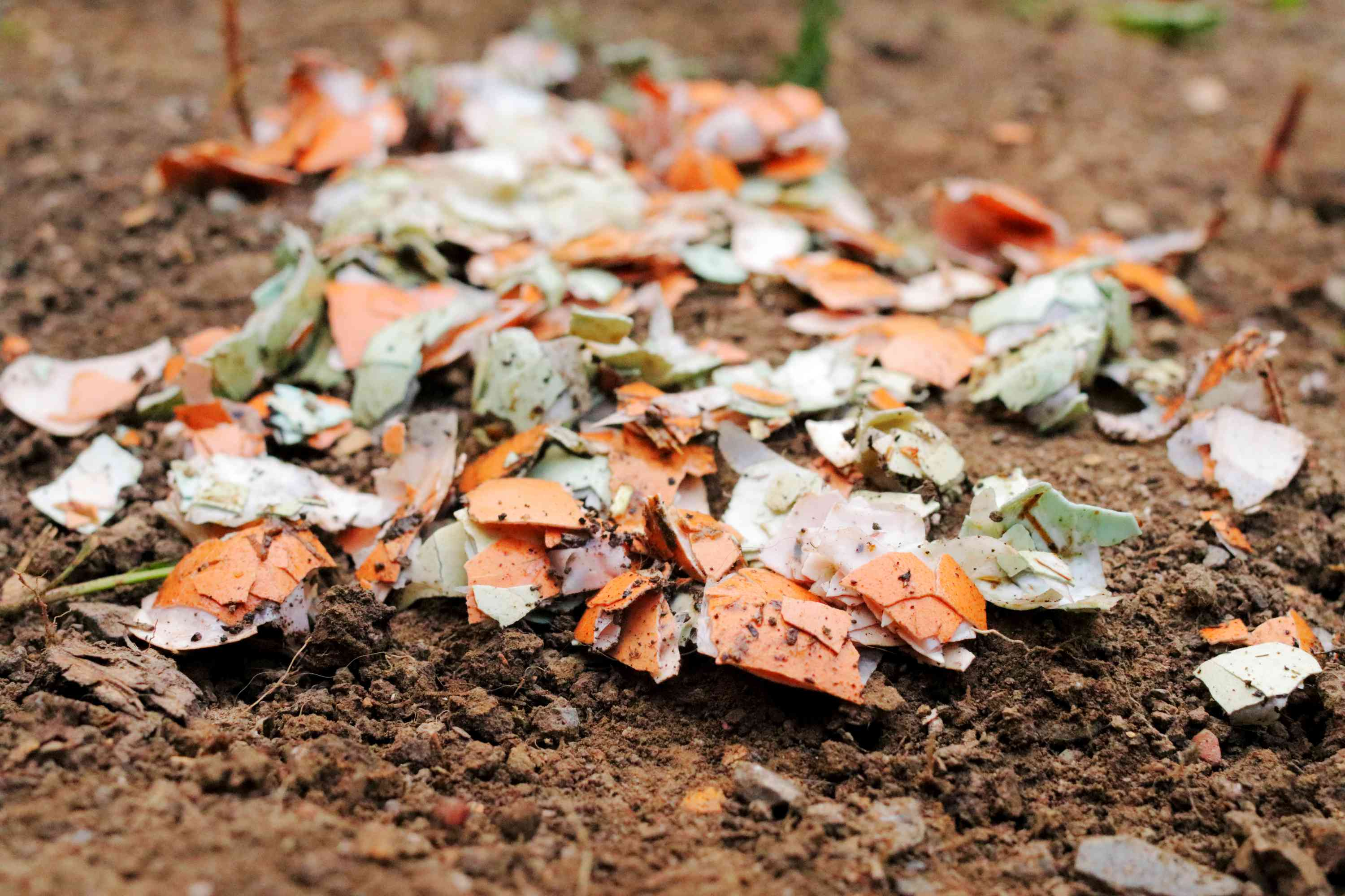 Crushed eggshells on dirt ground to deter feral cats closeup