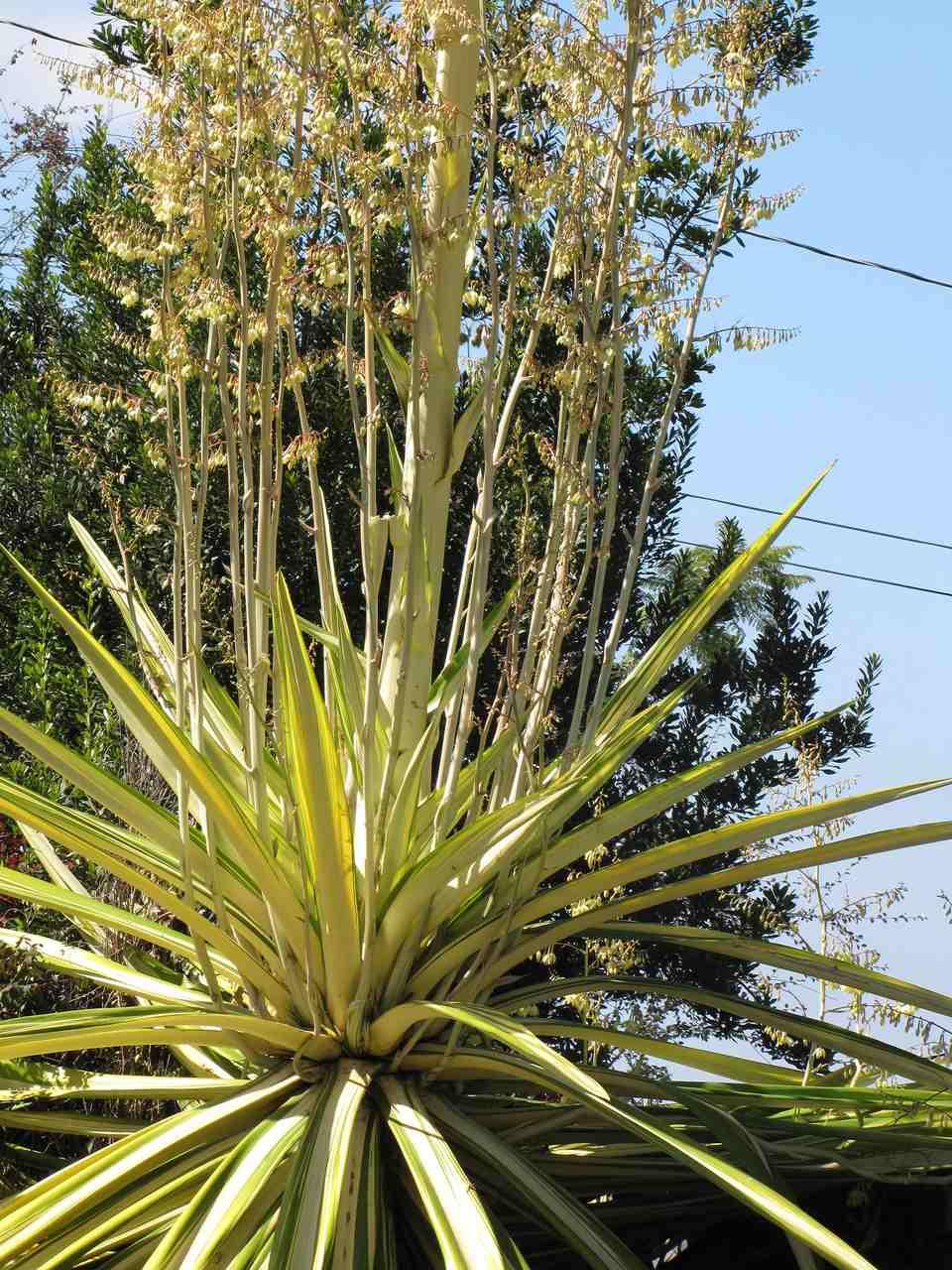 A furcraea foetida plant