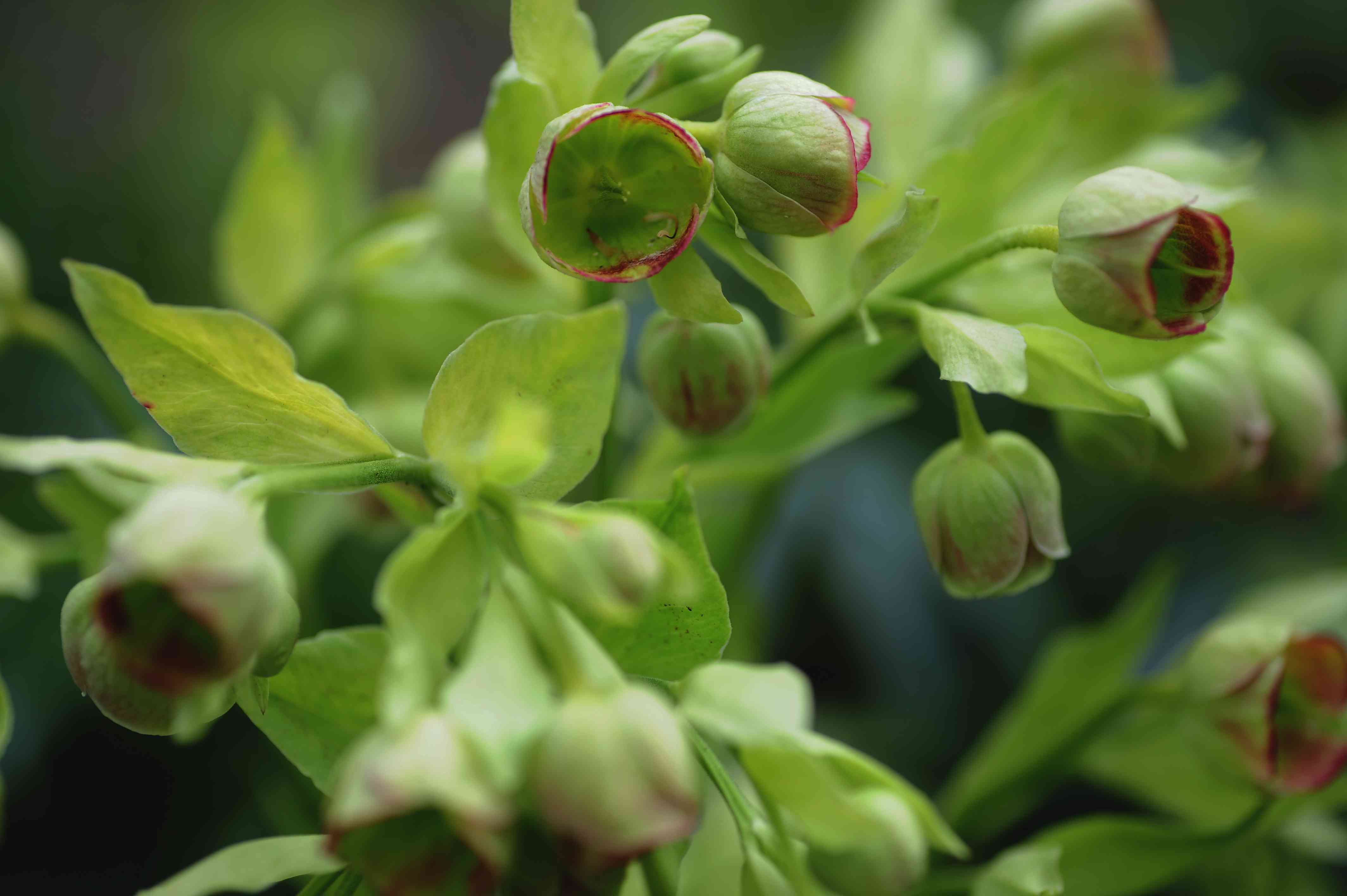 Stinking hellebore plant with light green cupped flowers clustered together between leaves closeup