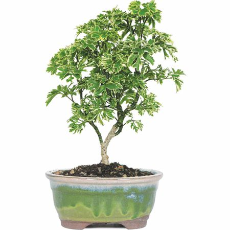 Ming Bonsai Tree Care Bonsai Tree