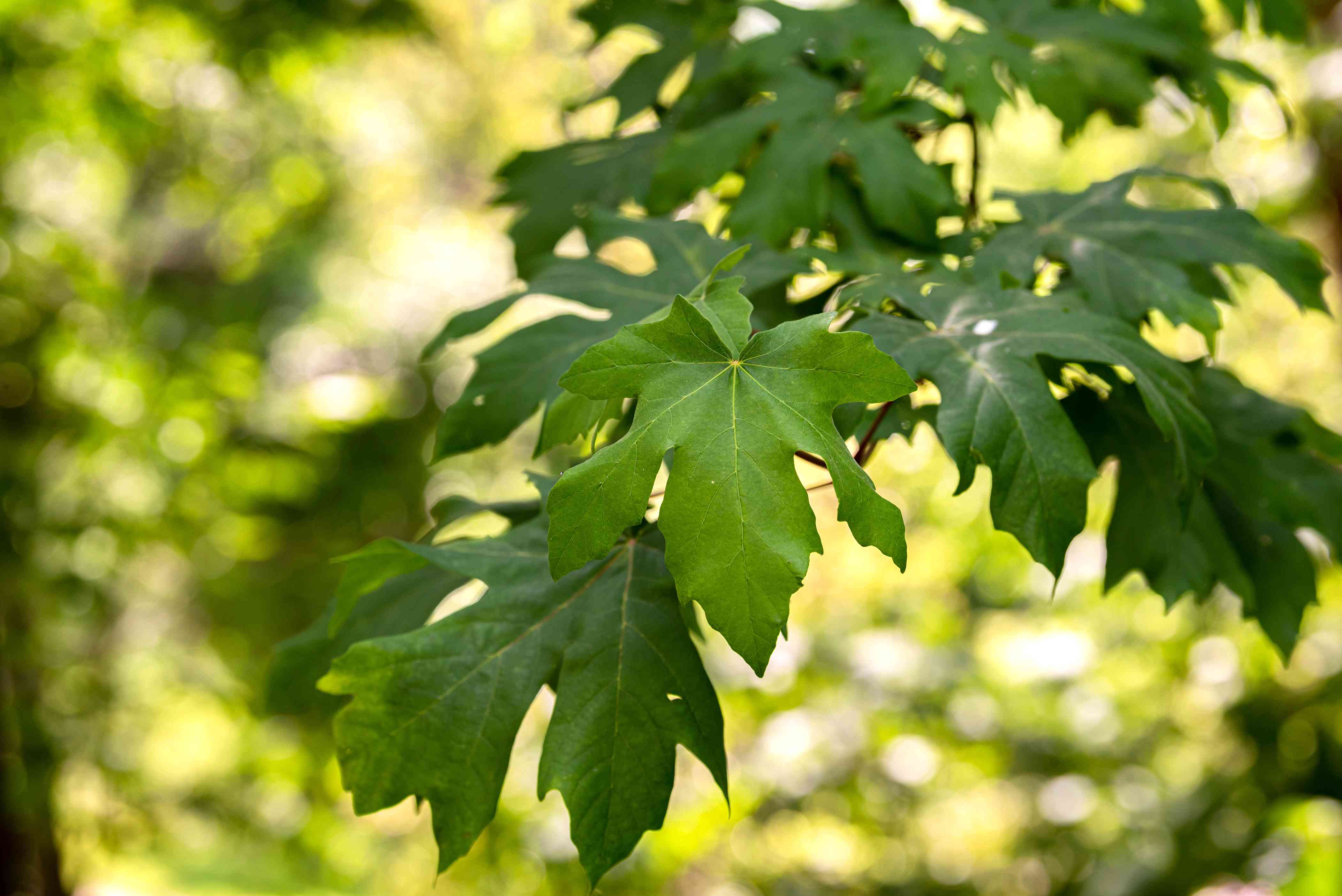 Big leaf maple tree branch with large palmate leaves closeup