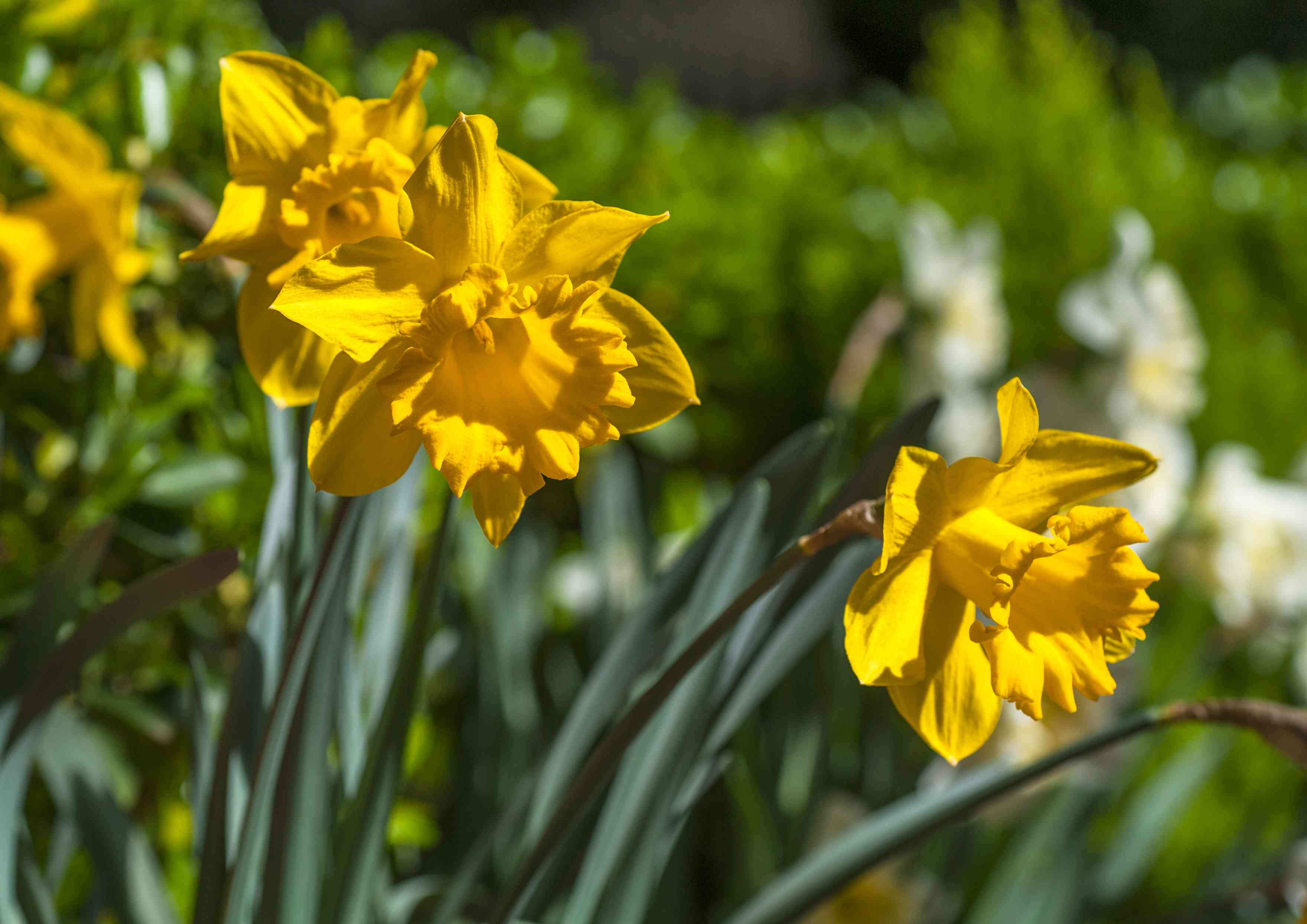 Trumpet daffodils with yellow flowers on stems