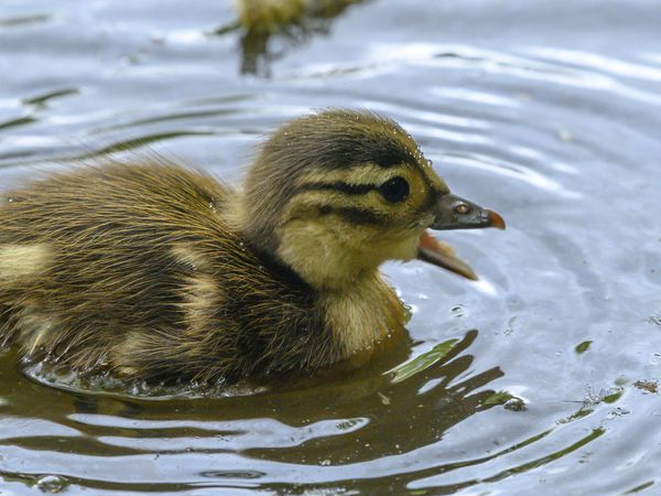 duckling with an open mouth