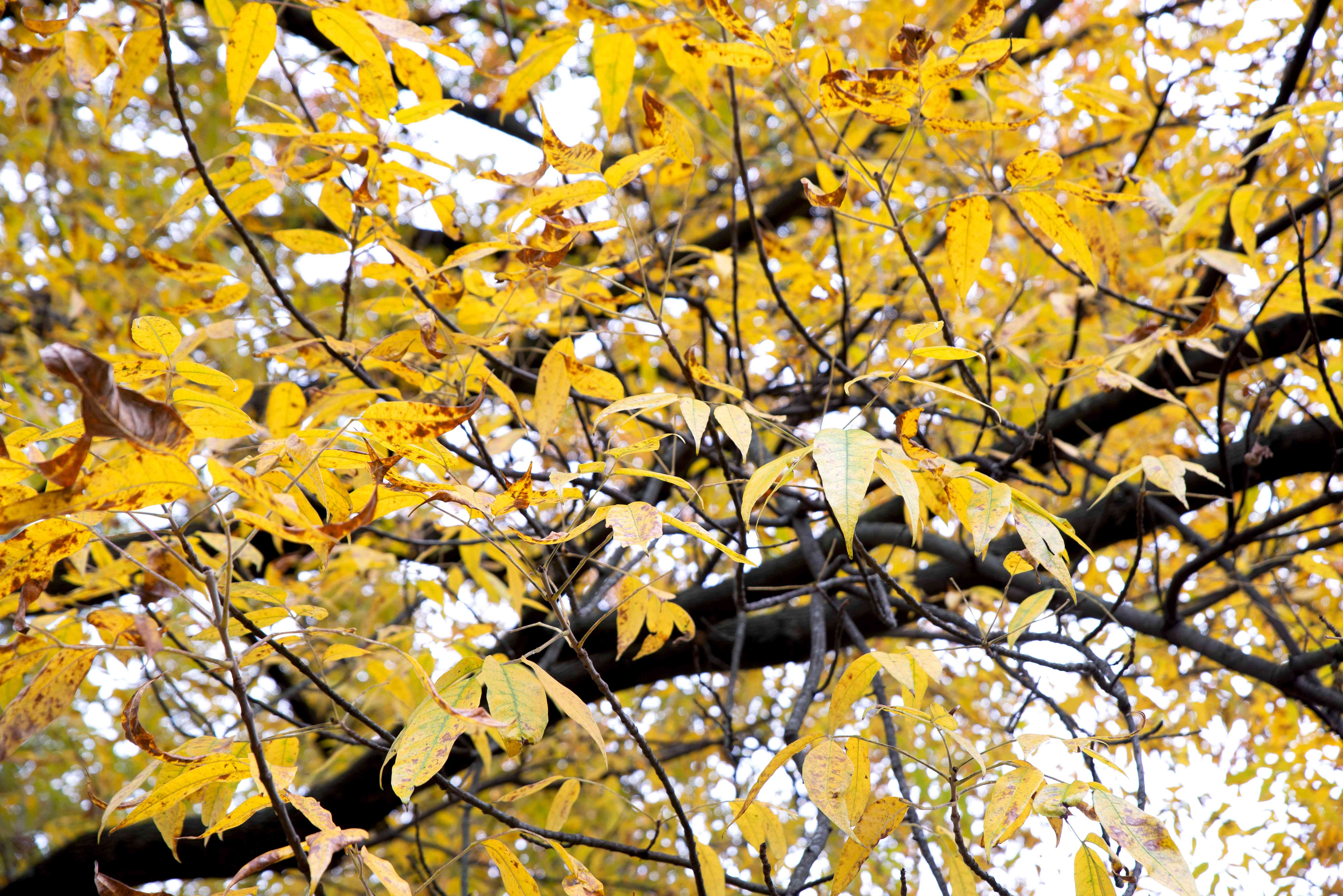 Pumpkin ash tree with dark wood branches and yellow-orange leaflets