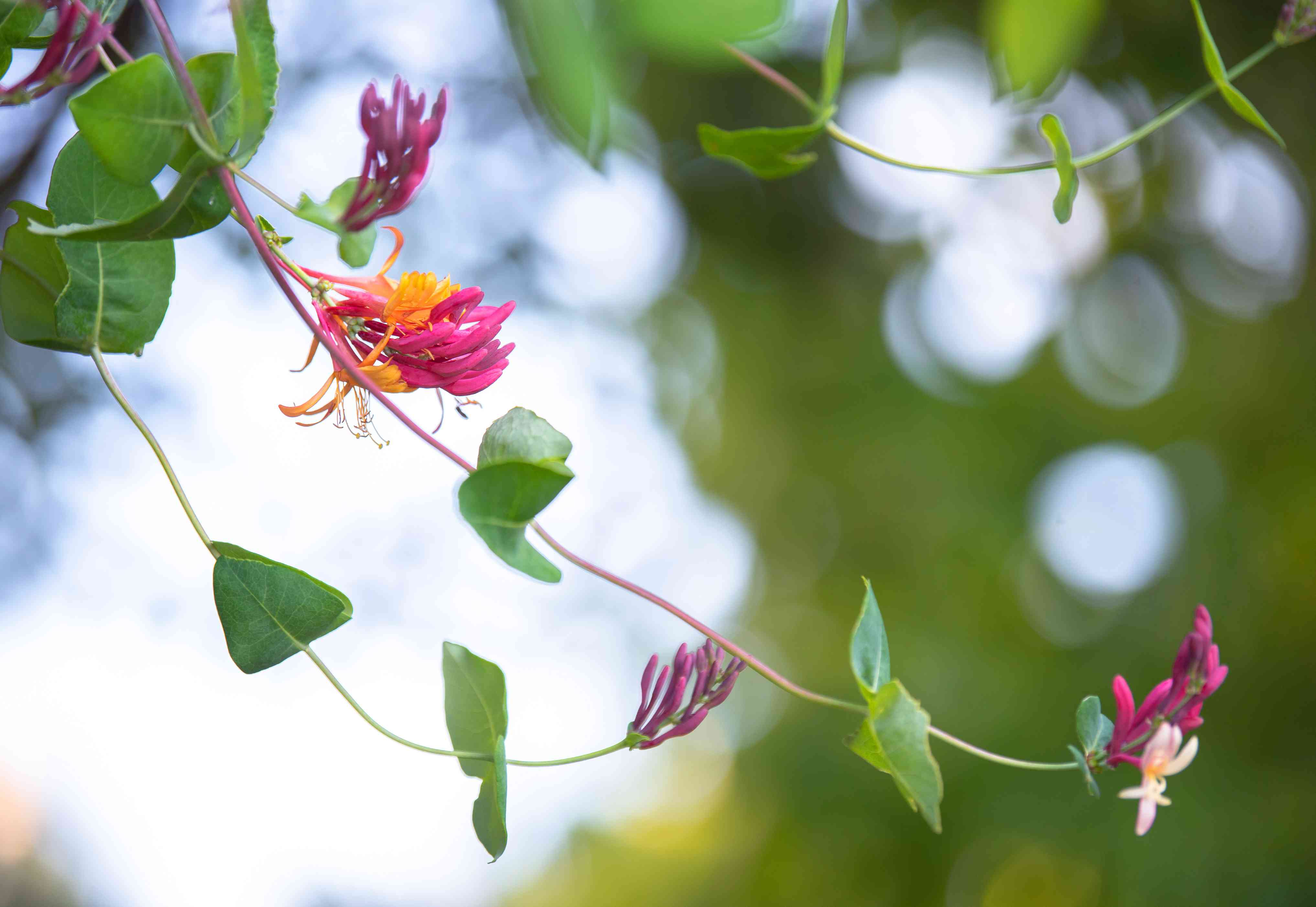 Common honeysuckle plant vine with tubular pink and orange flowers and leaves closeup