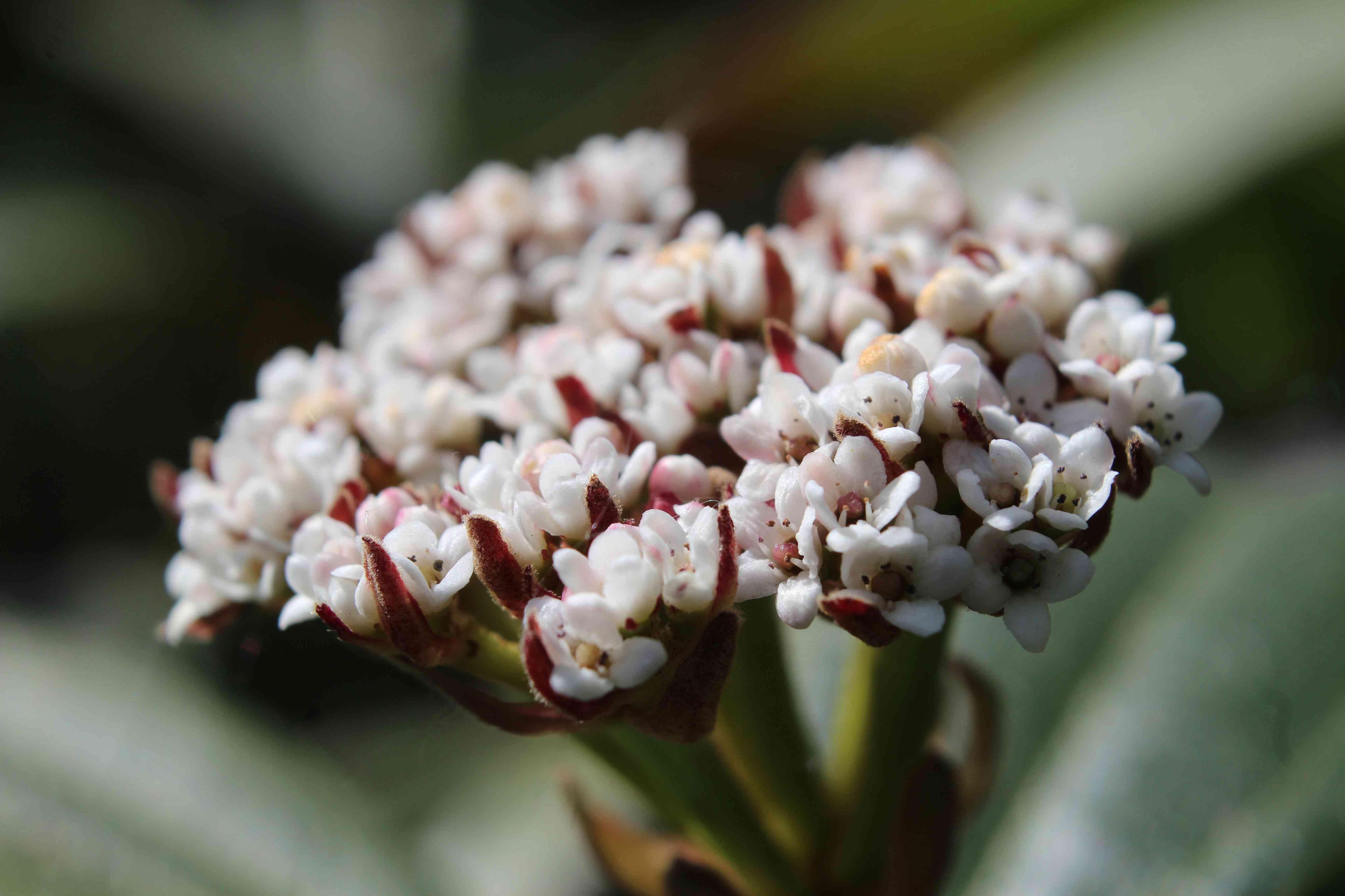 Viburnum davidii flowers, extreme close up