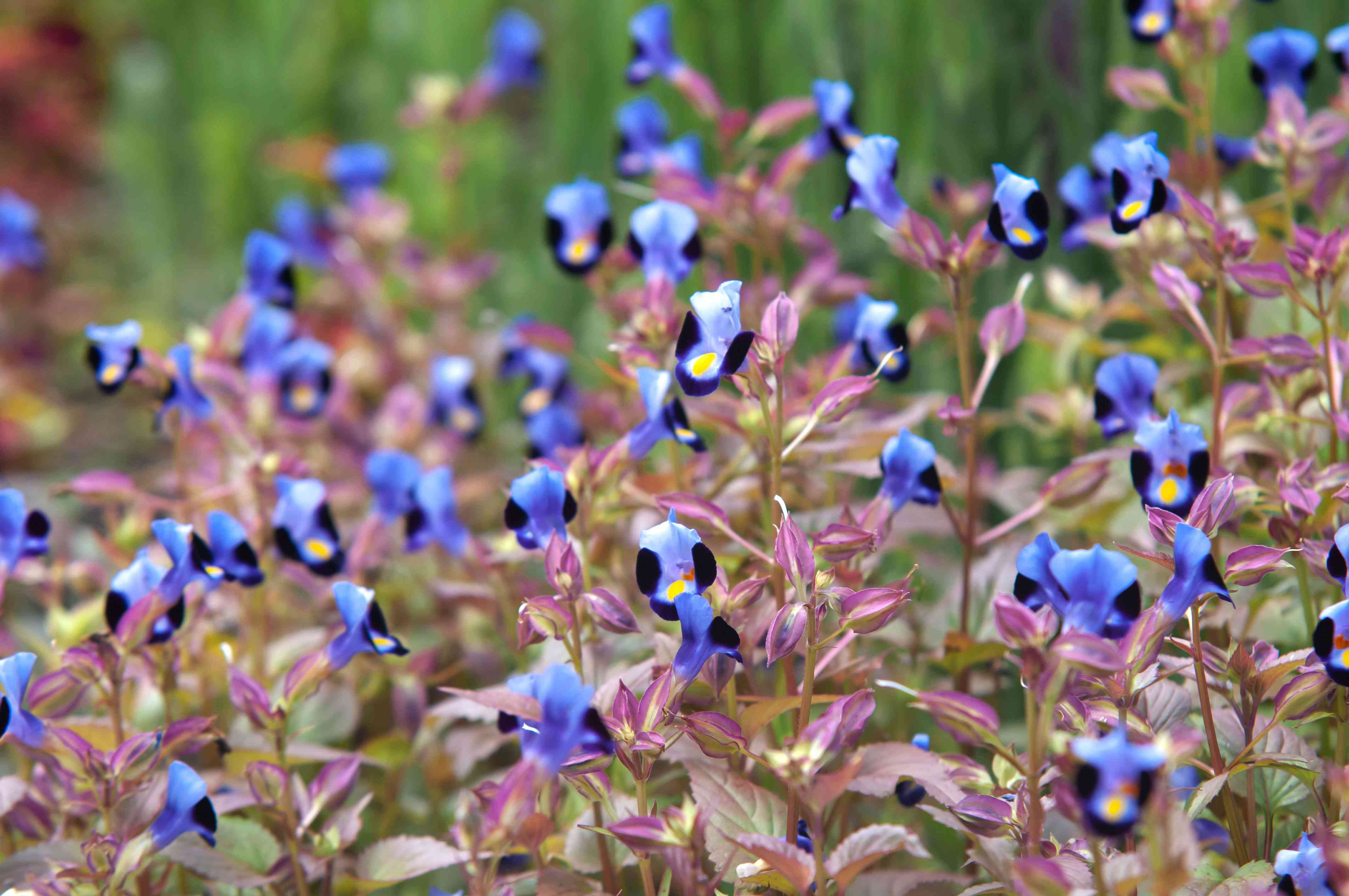 Torenia plant with small blue-purple and black flowers on thin stems with pink leaves