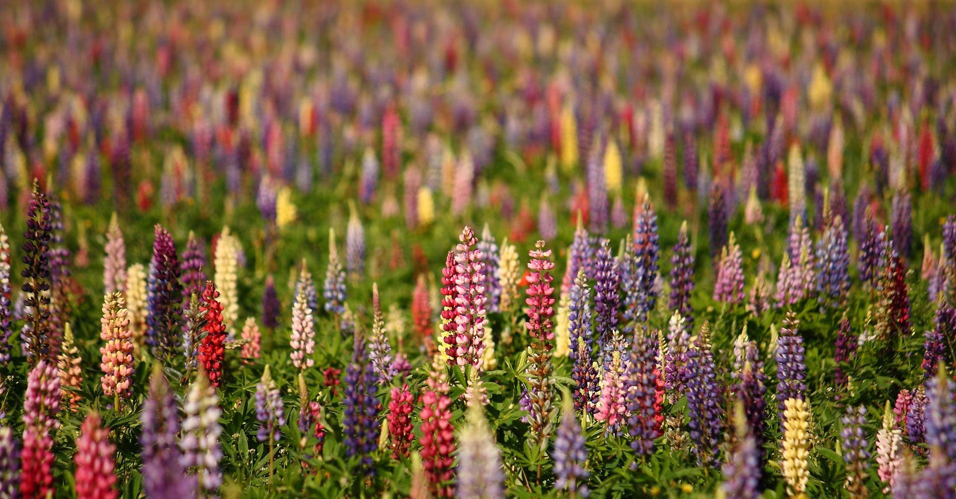 Guide to growing lupine flowers izmirmasajfo