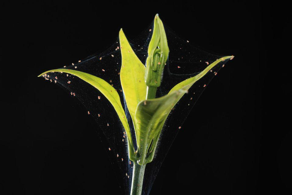 Plant disease: Spider Mites