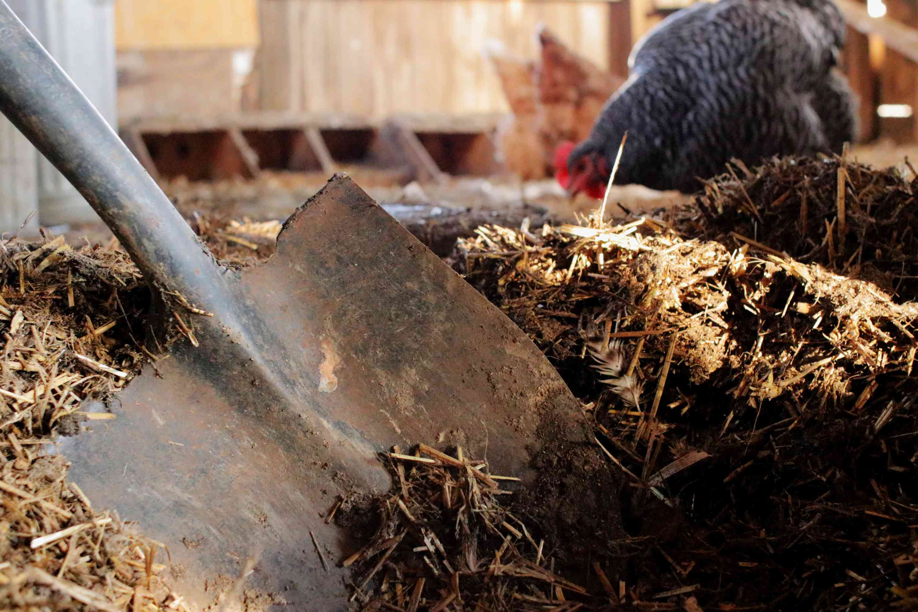 deep-cleaning the coop