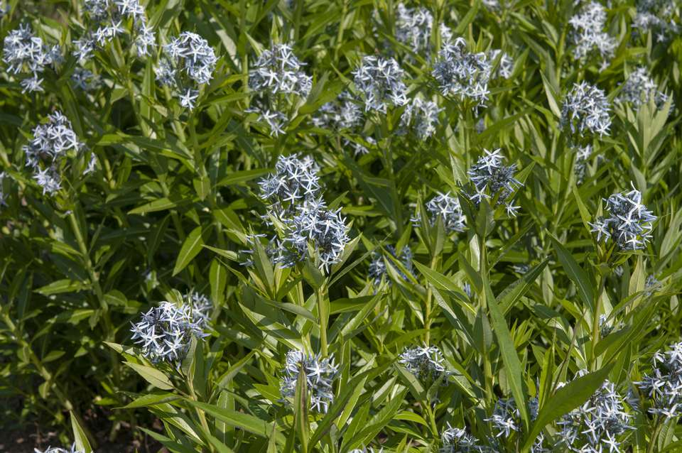 Blue star plants in garden with blue flowers and narrow leaves