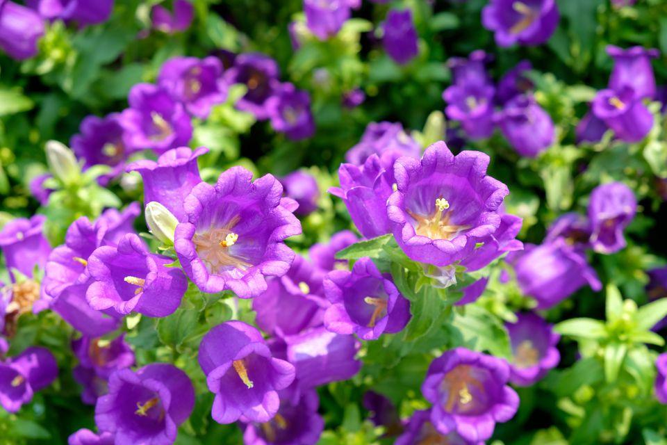 Purple Canterbury bells