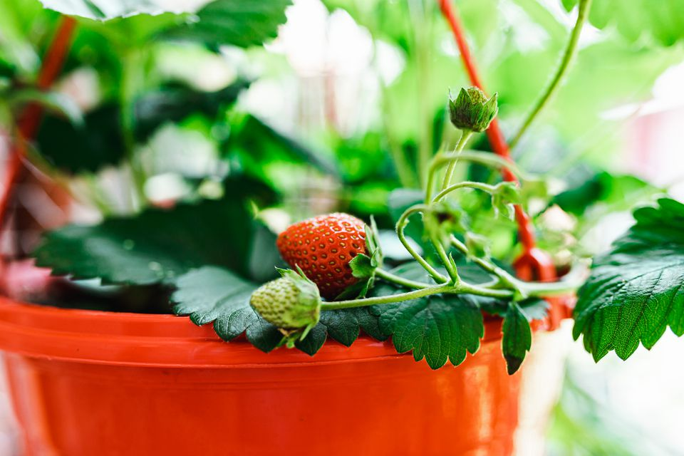 closeup of strawberries growing in a pot