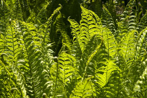 Ostrich ferns growing in sunlight