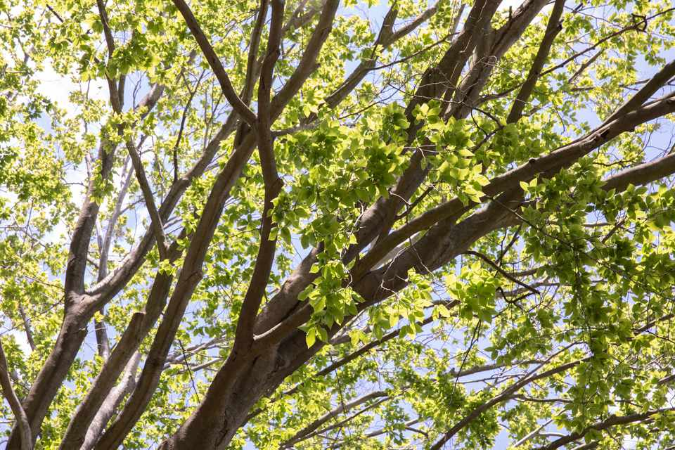 American beech tree with sprawling branches and green leaves below sunlight