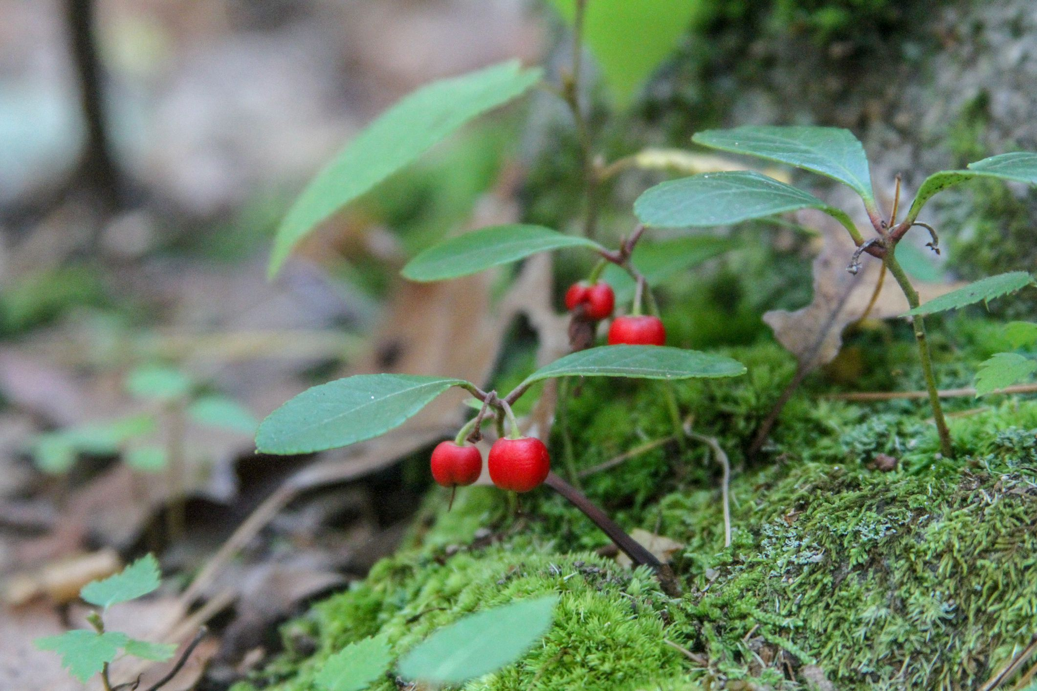 Wintergreen Plant Care And Growing Guide