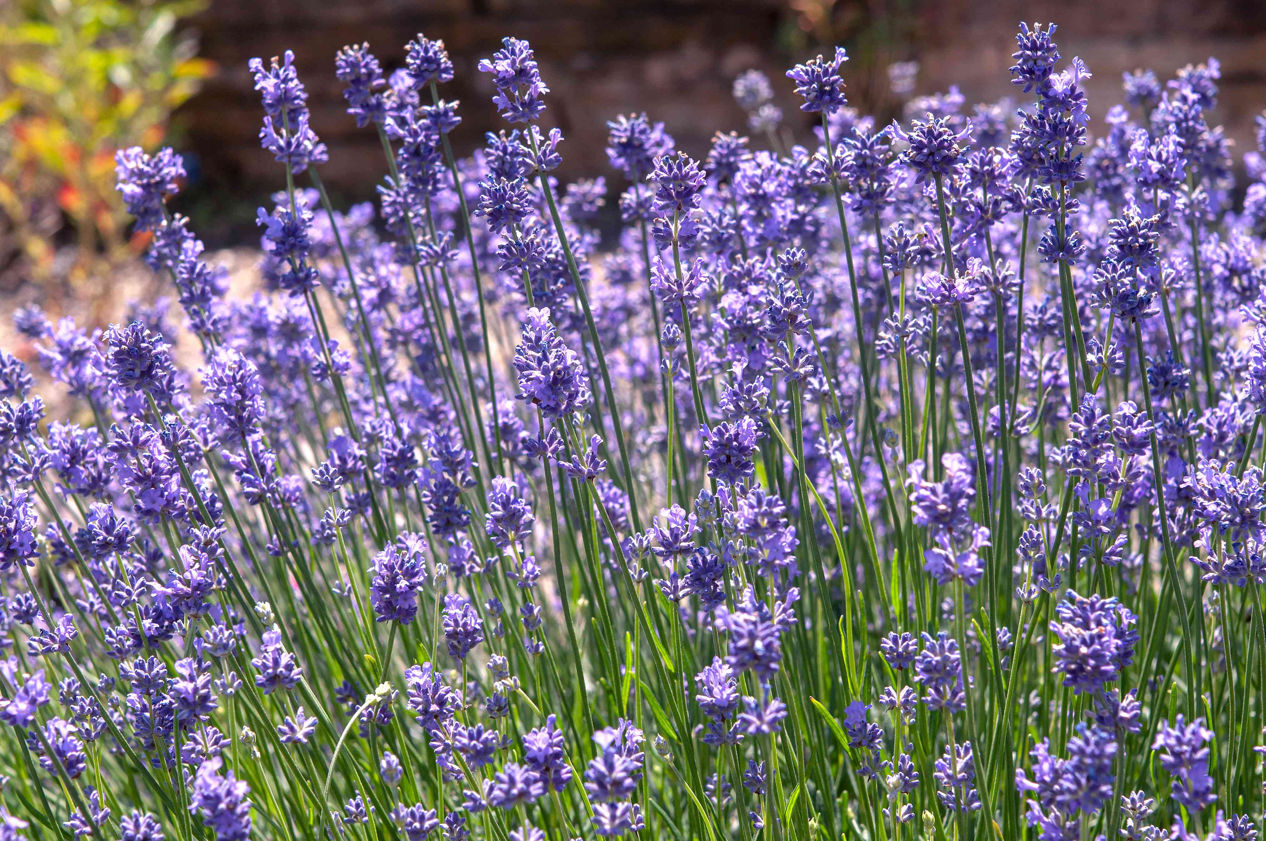 English lavender plants with thin stems and small purple flowers
