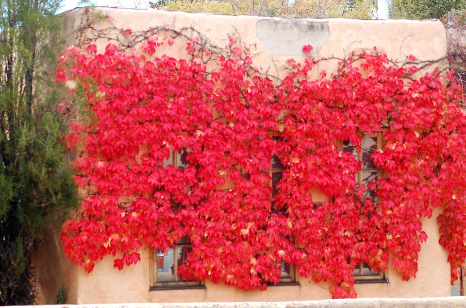 Boston ivy scaling a wall