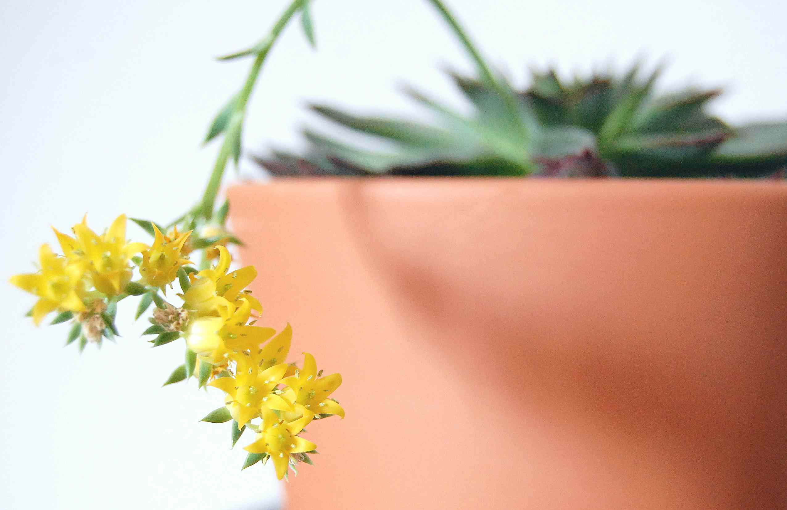 A close up shot of a flowering Echeveria succulent.
