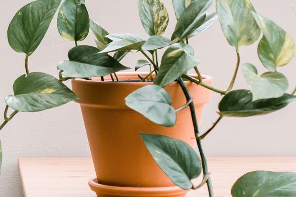 closeup of a pothos plant