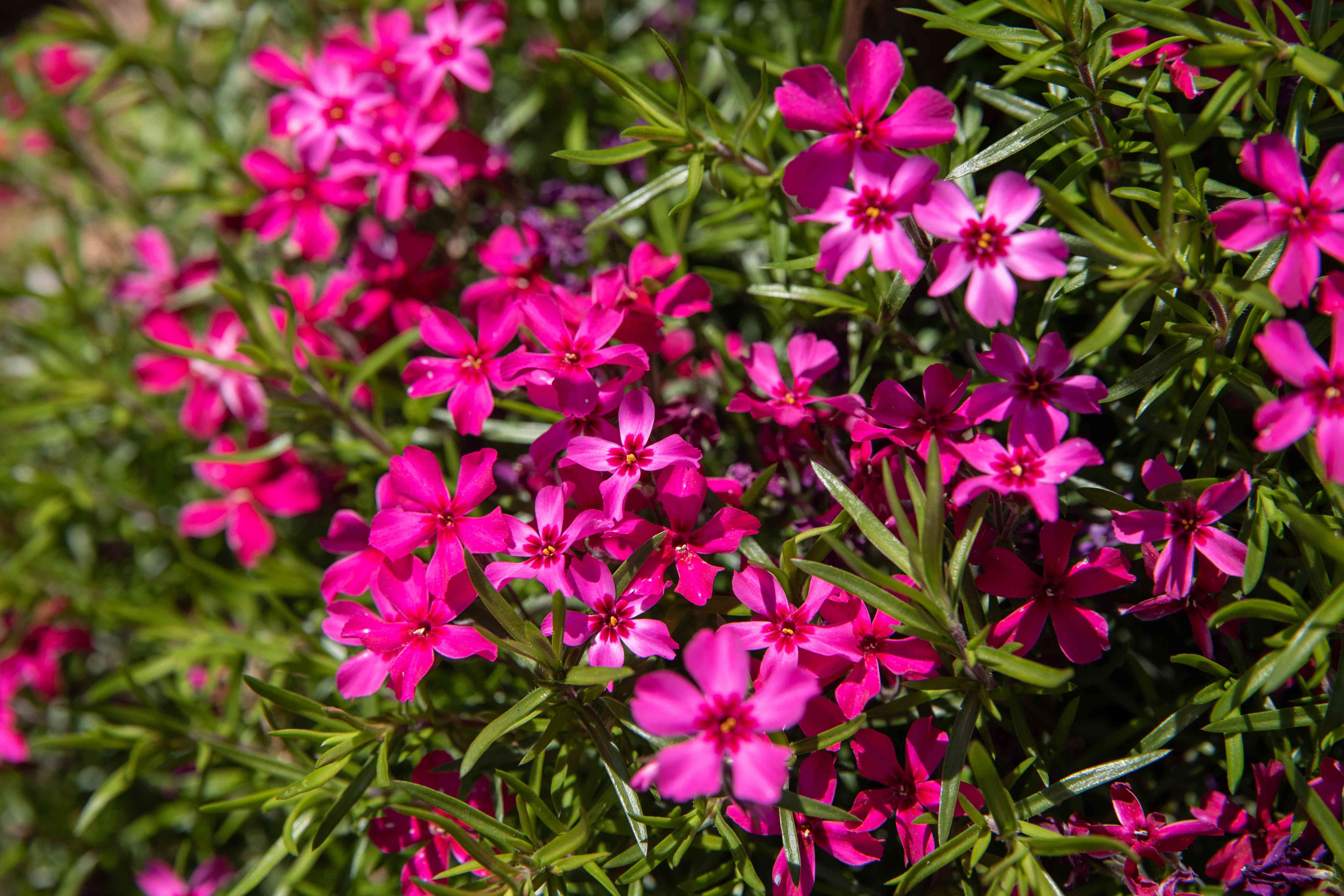 Phlox plant with bright pink flowers surrounded by blade-like leaves in sunlight