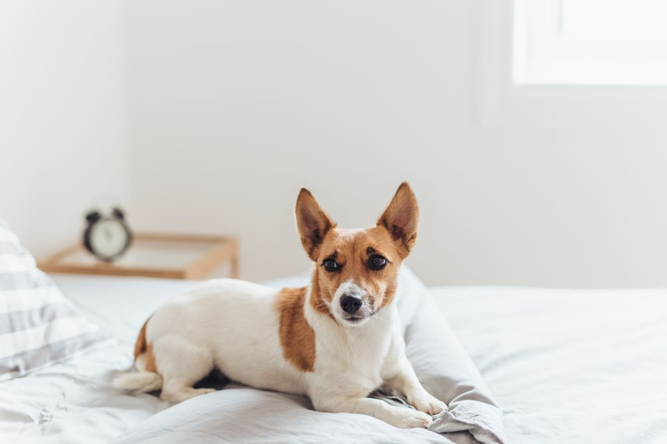 Charming dog lying on bed in morning