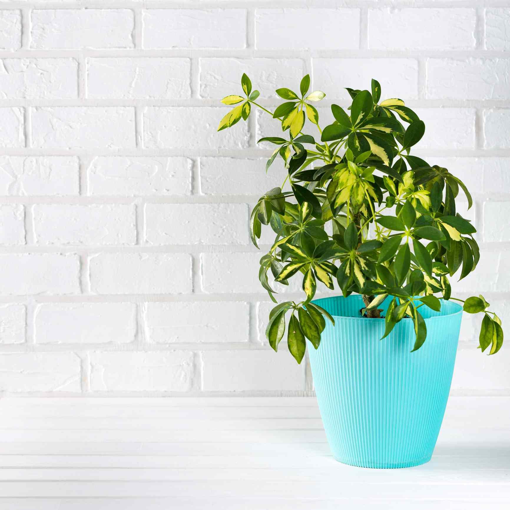planta de árbol de paraguas