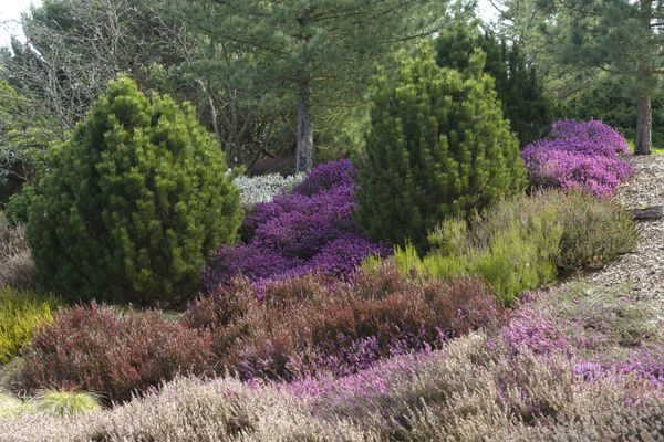 Dwarf evergreen trees in middle of garden with fuchsia, red and green bushes