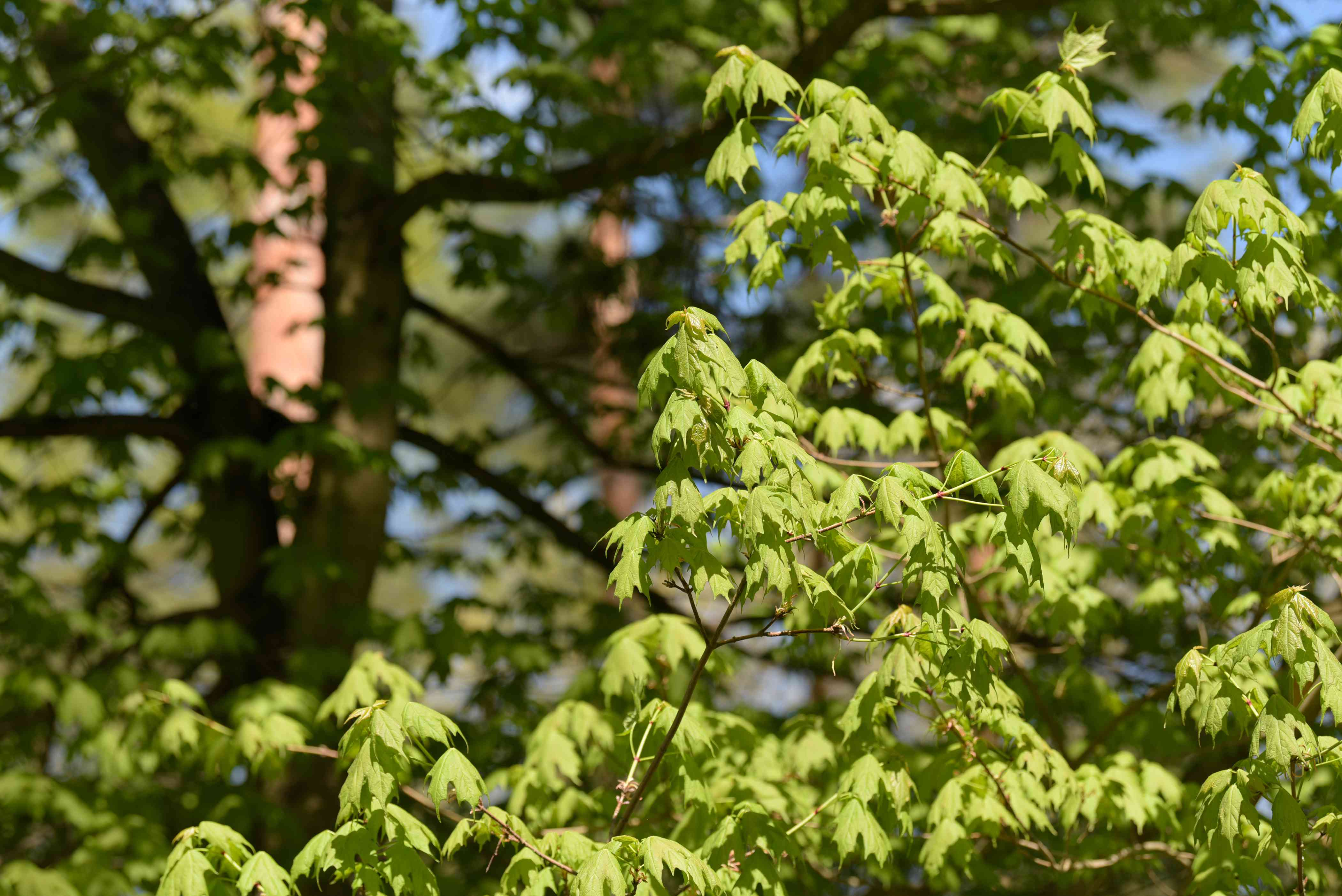 Sugar maple tree branches with bright green leaves in sunlight