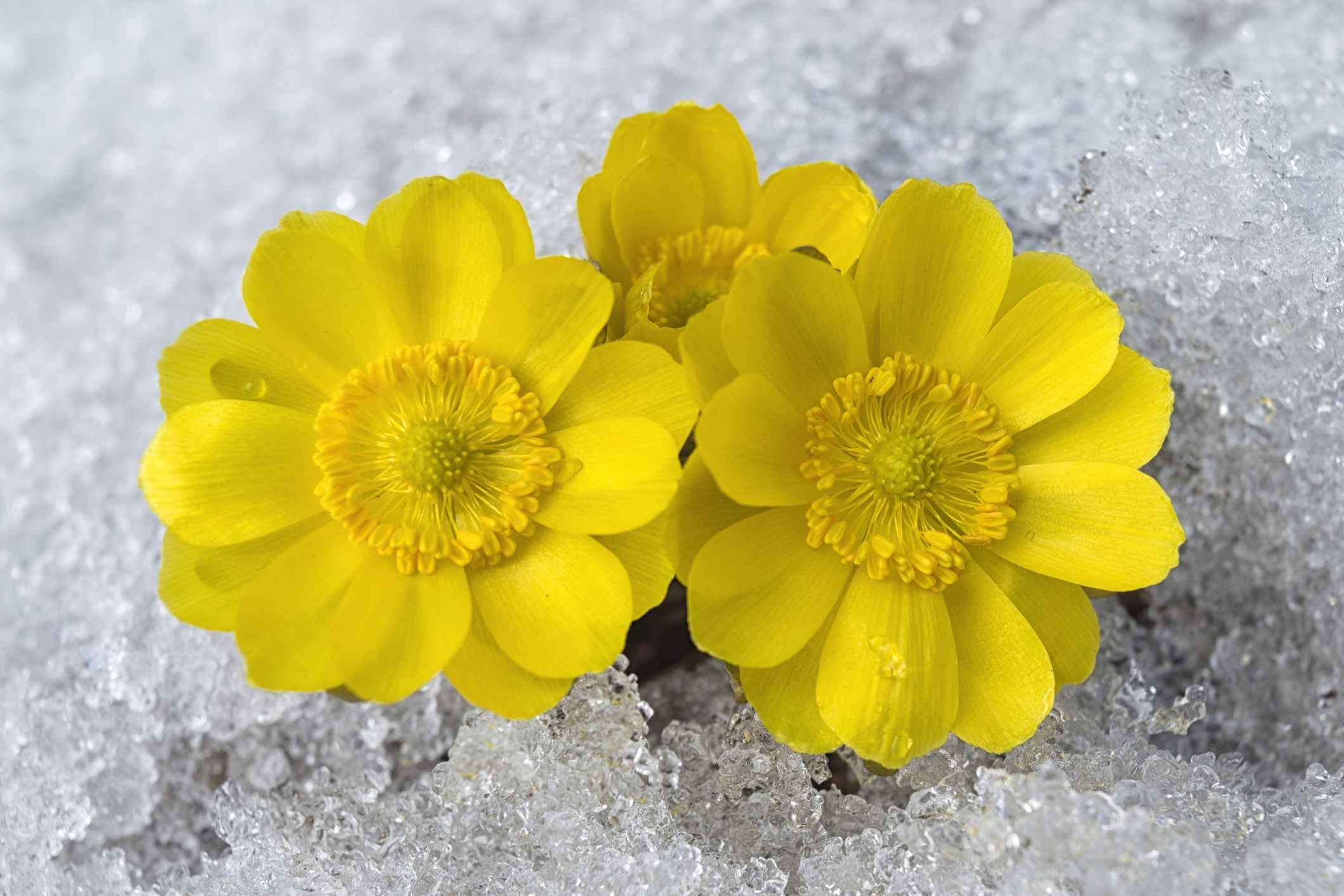 bright yellow adonis flowers