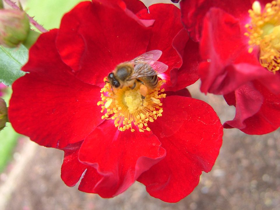 Closeup of flower of Flower Carpet red rose with bee on it.
