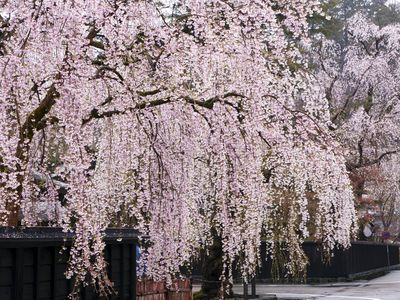 The best flowering trees for your landscape add grace to your garden with these 19 weeping trees mightylinksfo