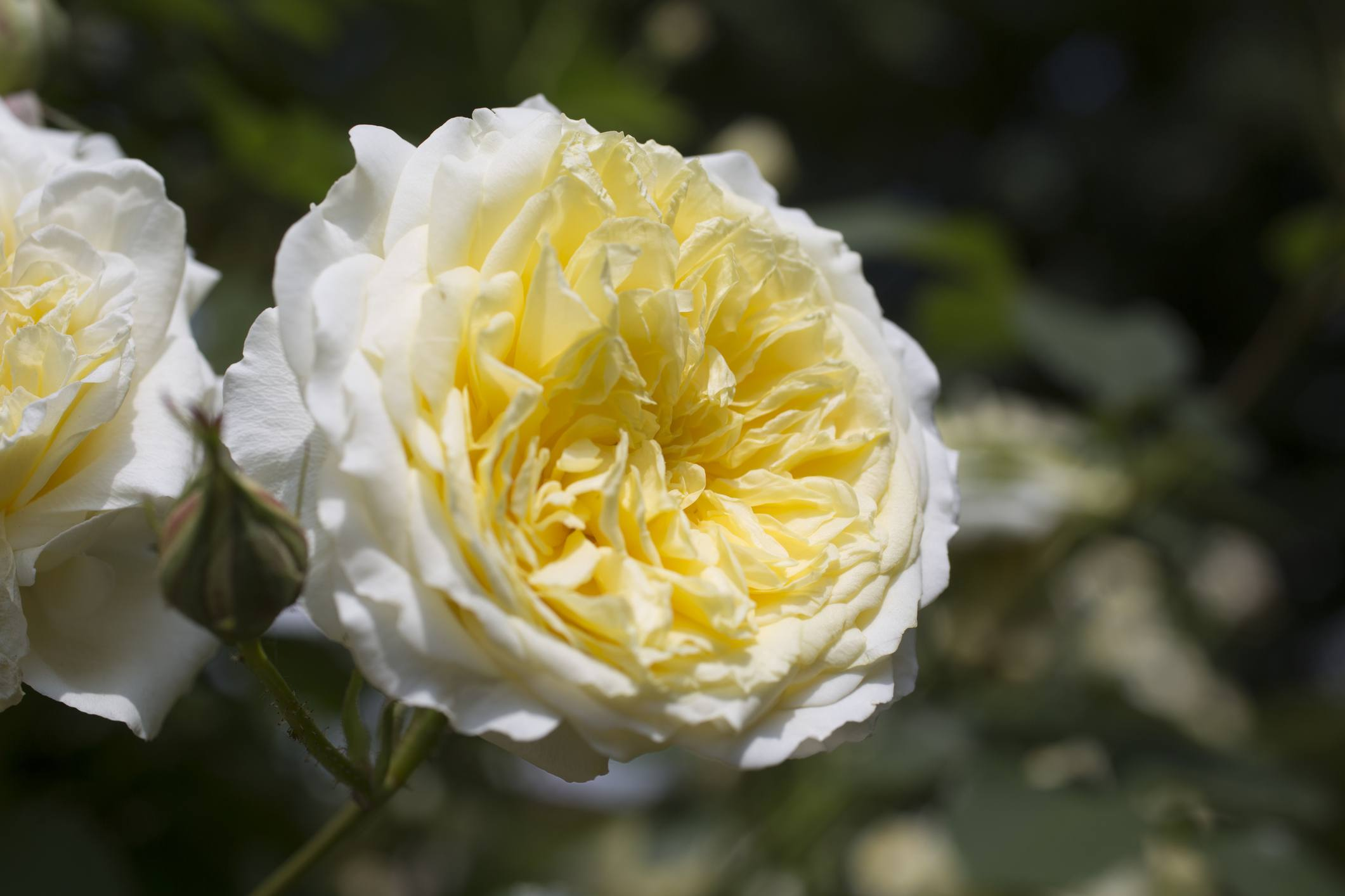 The Pilgrim English Rose