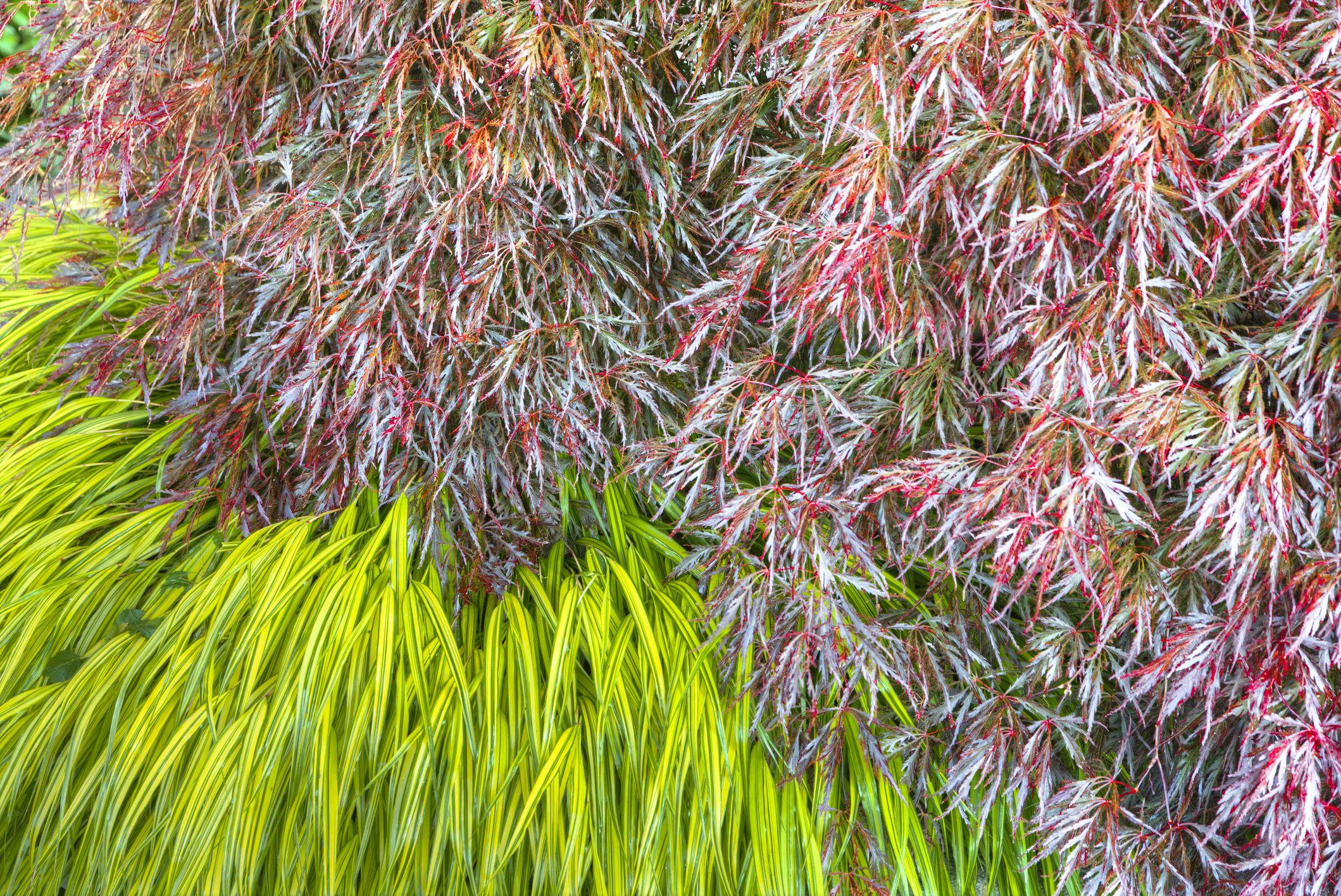Ornamental garden grass, Japanese Maple