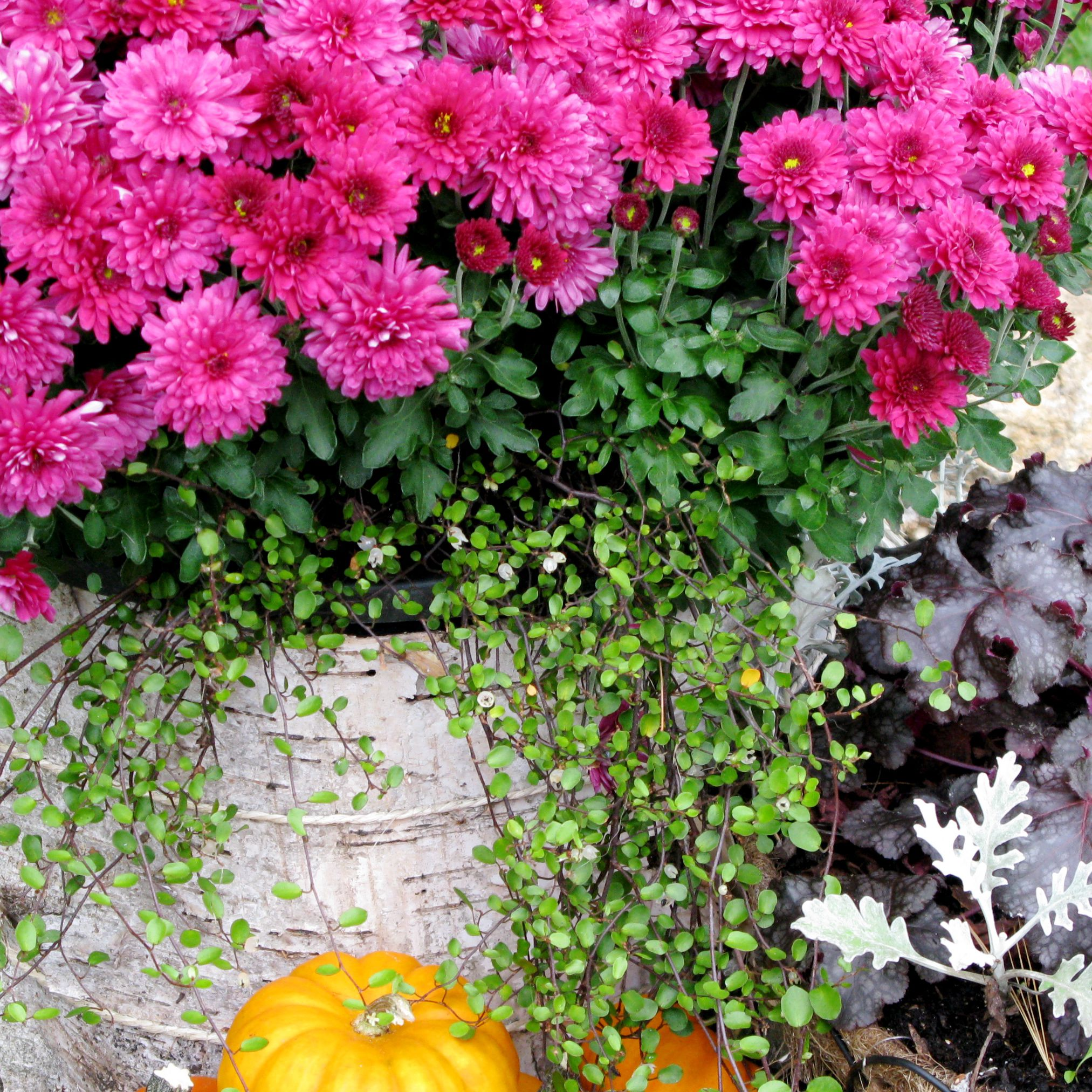 birch bark-covered container holding mums and wirevine