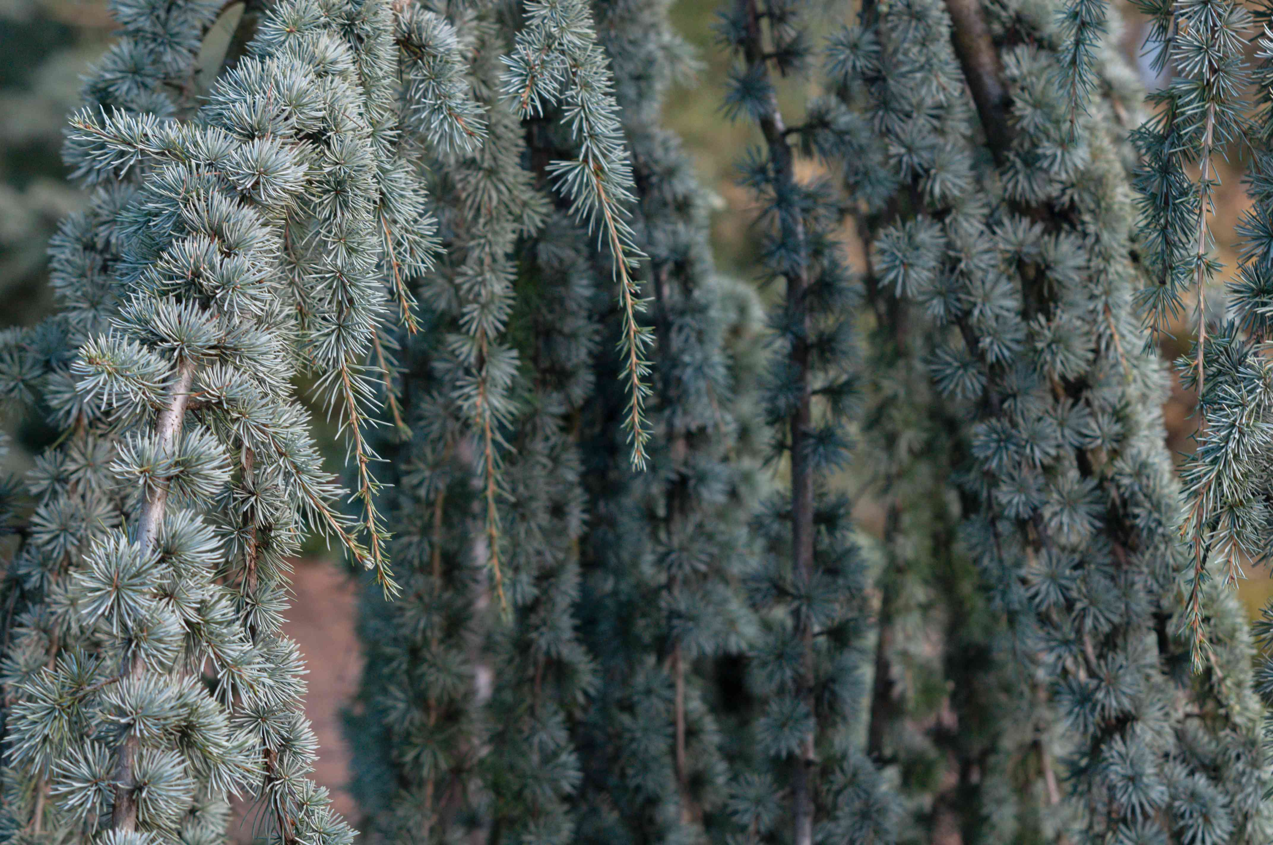 Blue atlas cedar branches of whorls with evergreen needles closeup