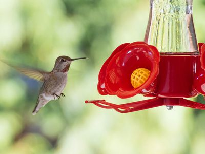 When Is It Time To Put Out Hummingbird Feeders