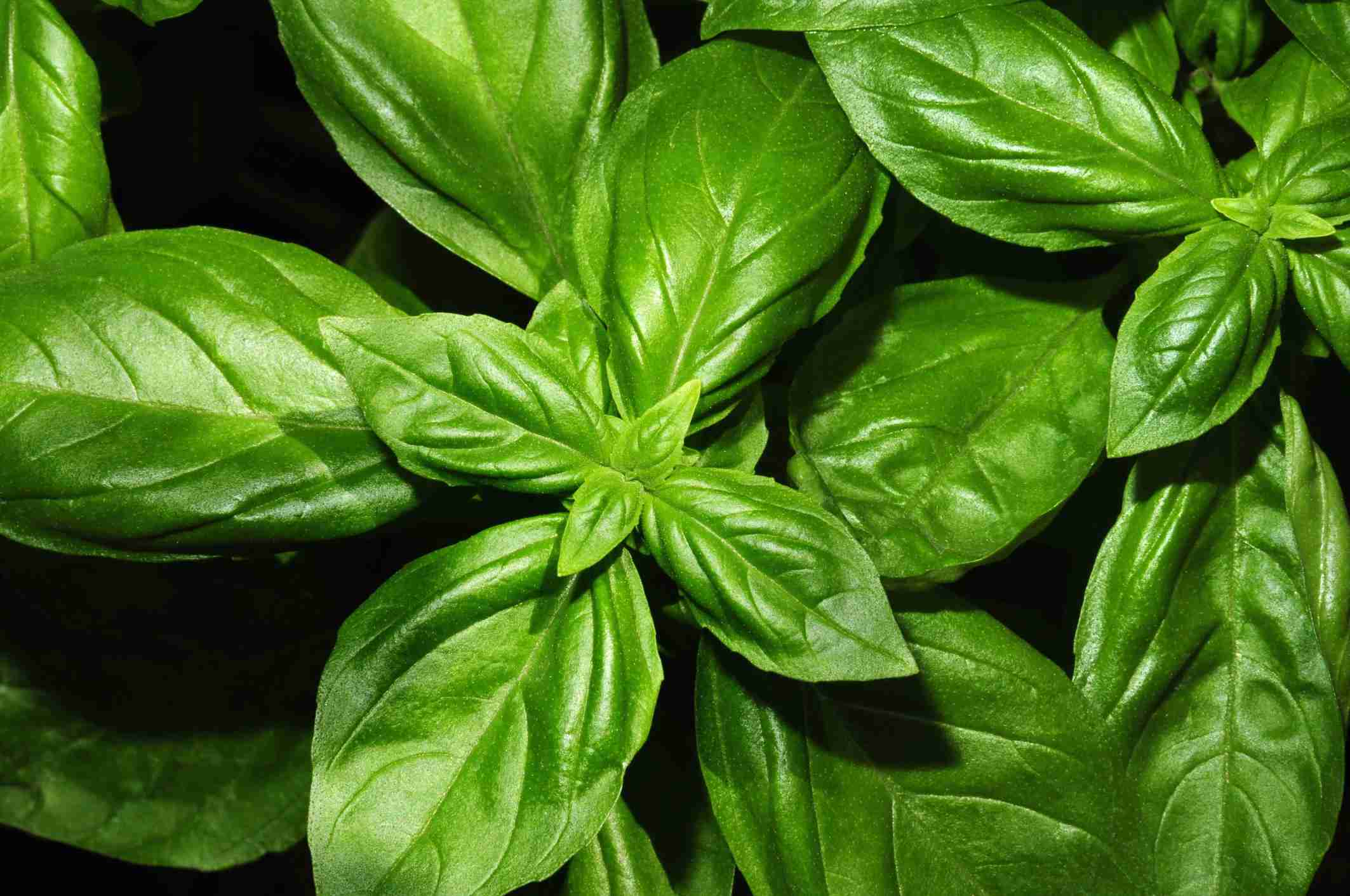 Organically grown sweet basil