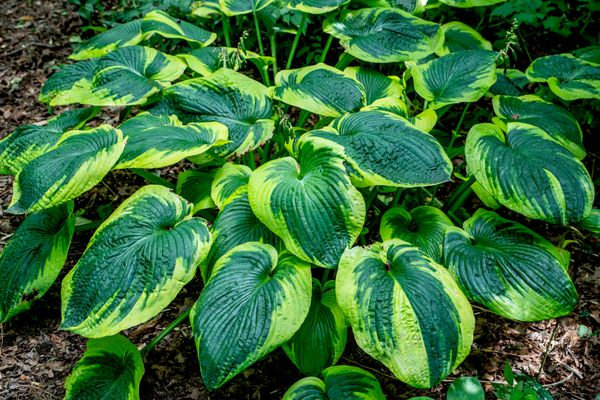 Frances Williams hosta plant with large oval-shaped leaves with blue-green and yellow-green colors clumped together
