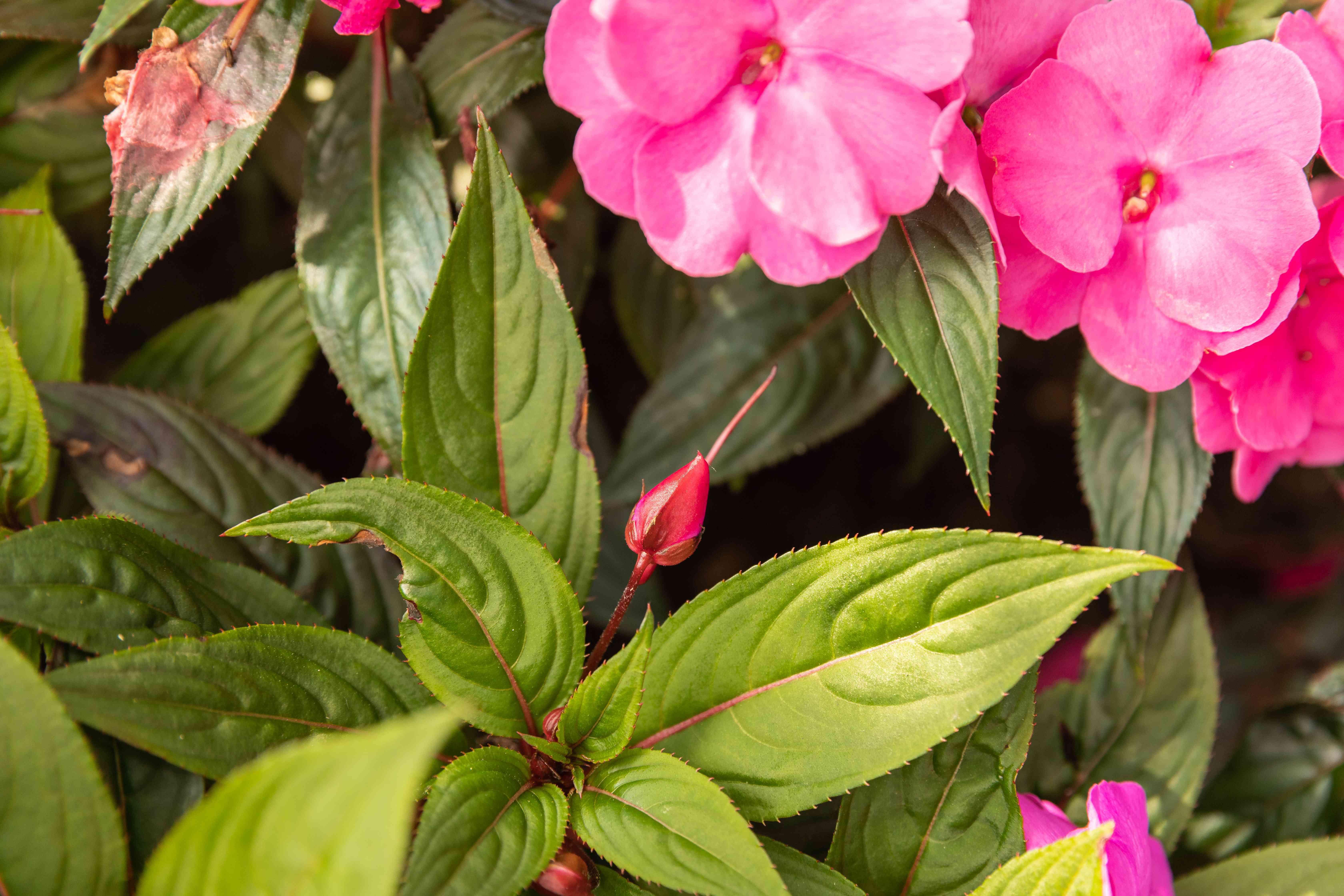 new bud on a New Guinea impatiens shrub